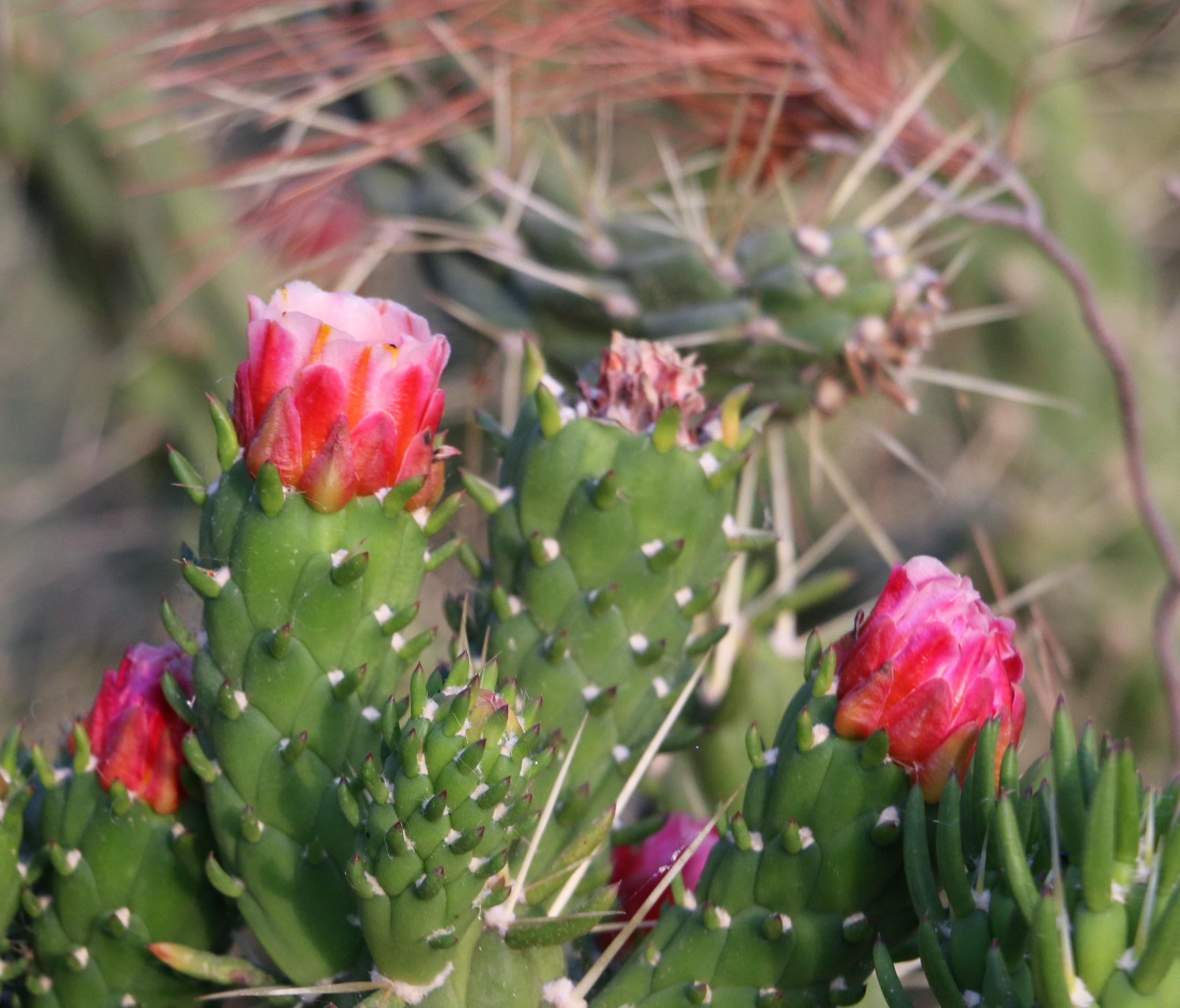 Opuntia ficus-indica.