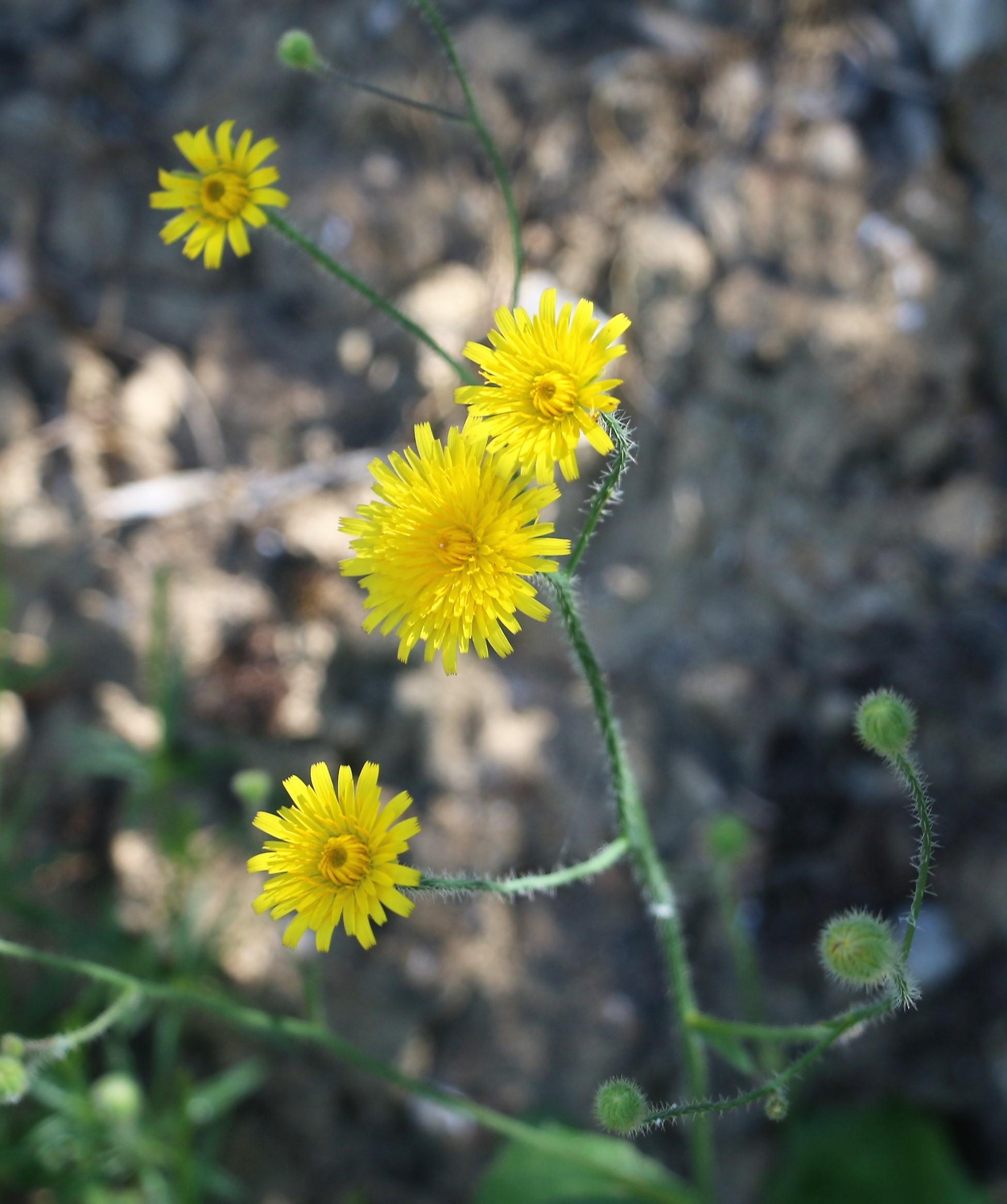 Hedypnois Cretica.