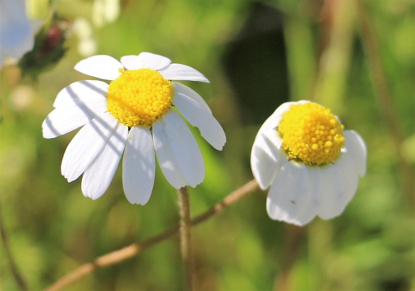 Chamaemulum nobile.