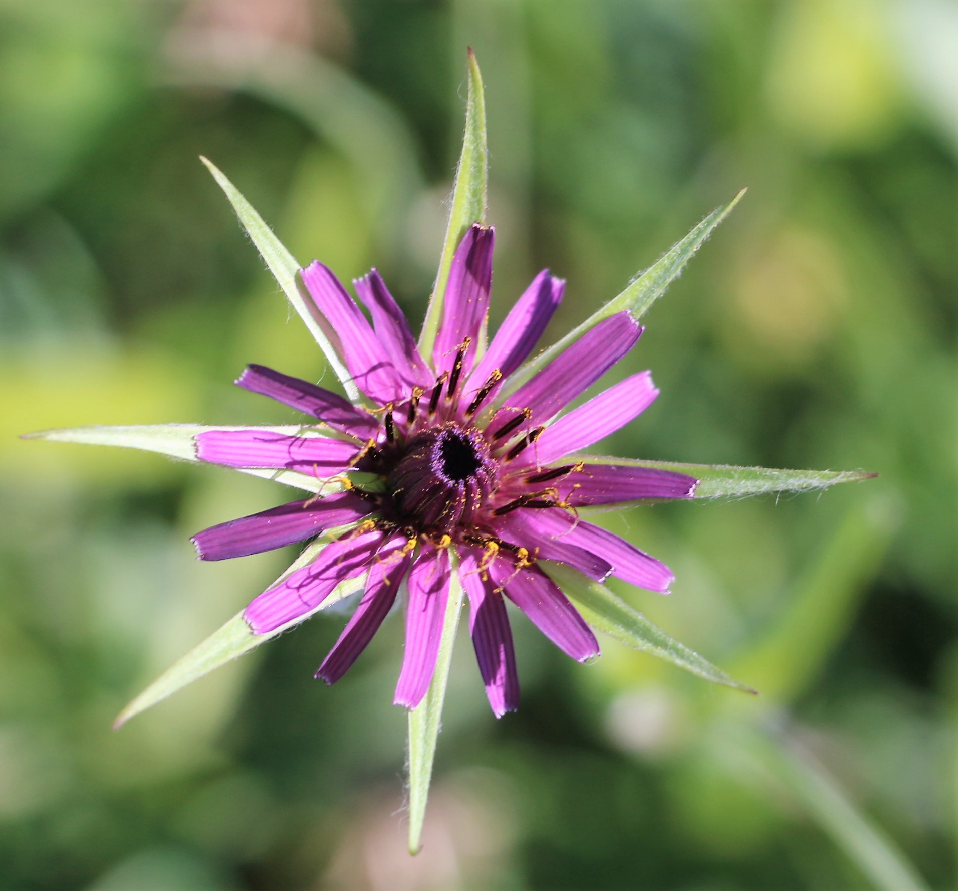 Tragopogon porrifolius.