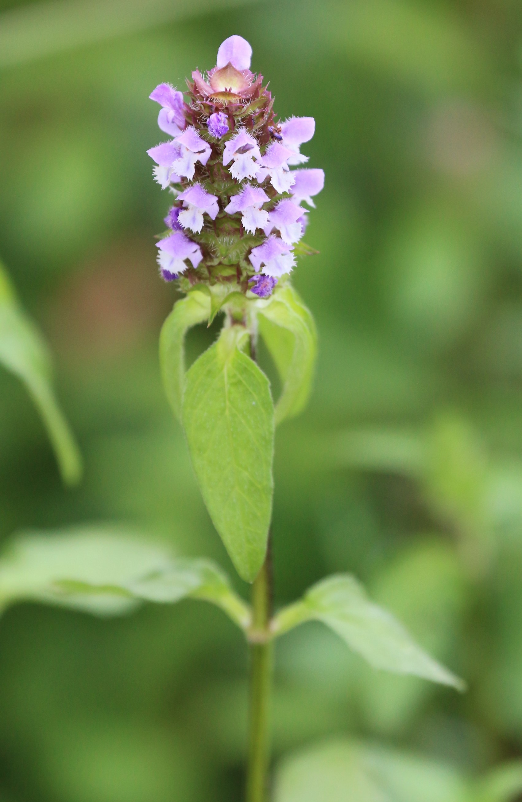 Prunella vulgaris.