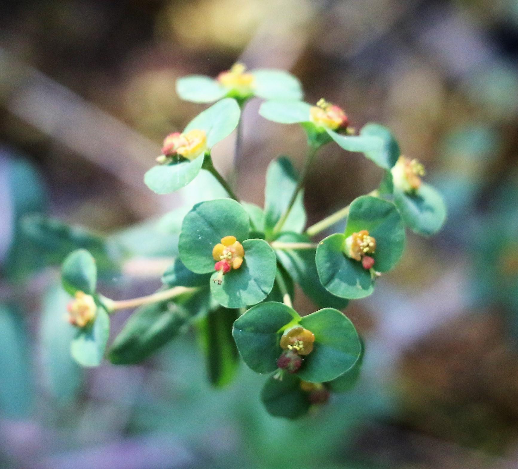 Euphorbia platyphyllos.
