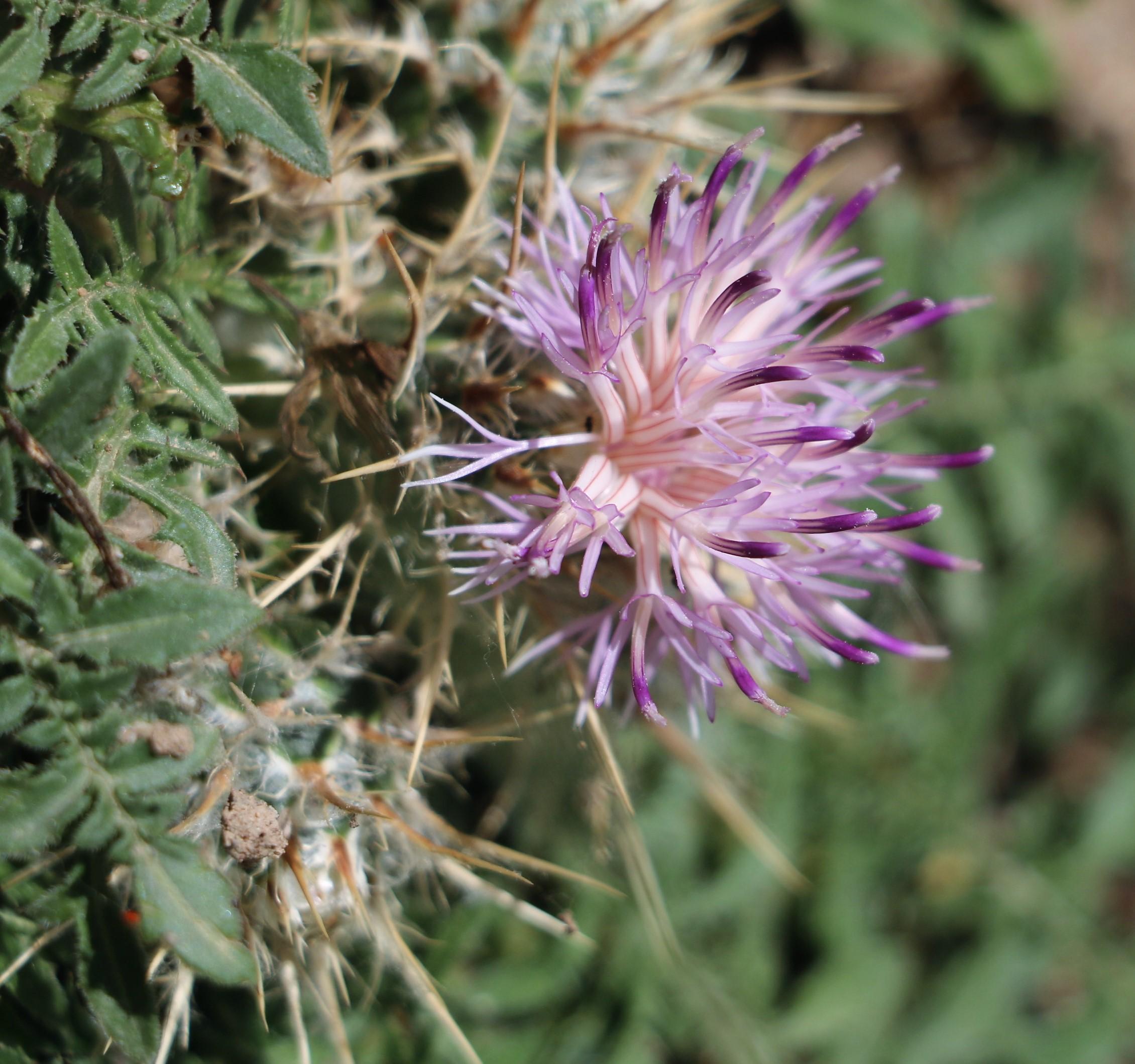 Centaurea laconia.