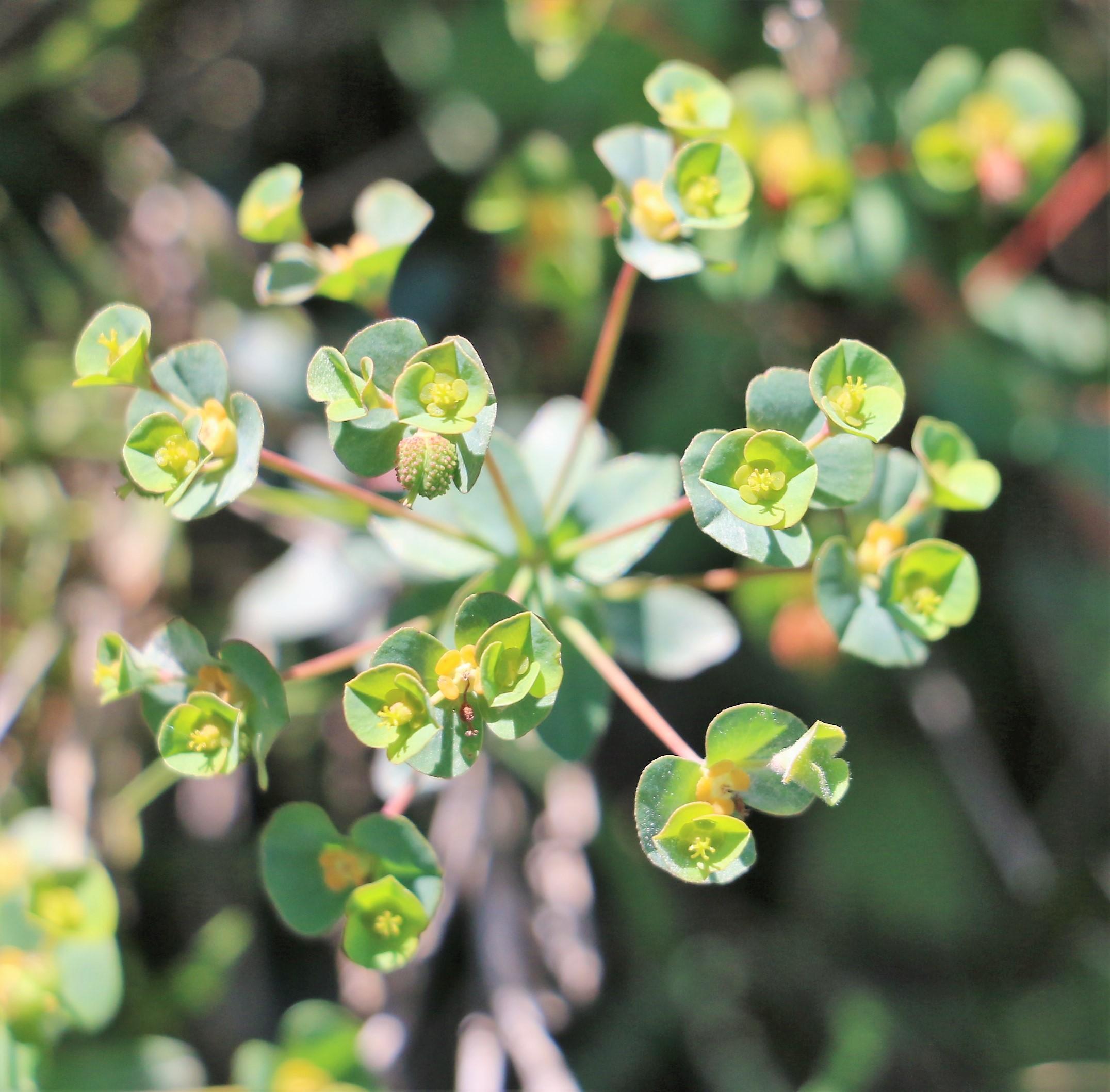 Euphorbia apios.