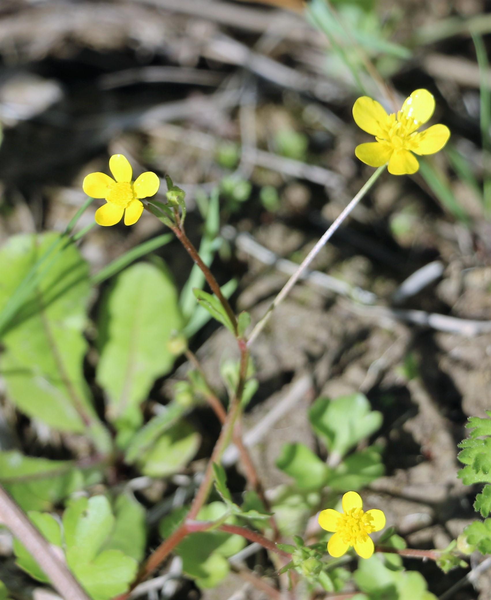 Ranunculus sarduos.