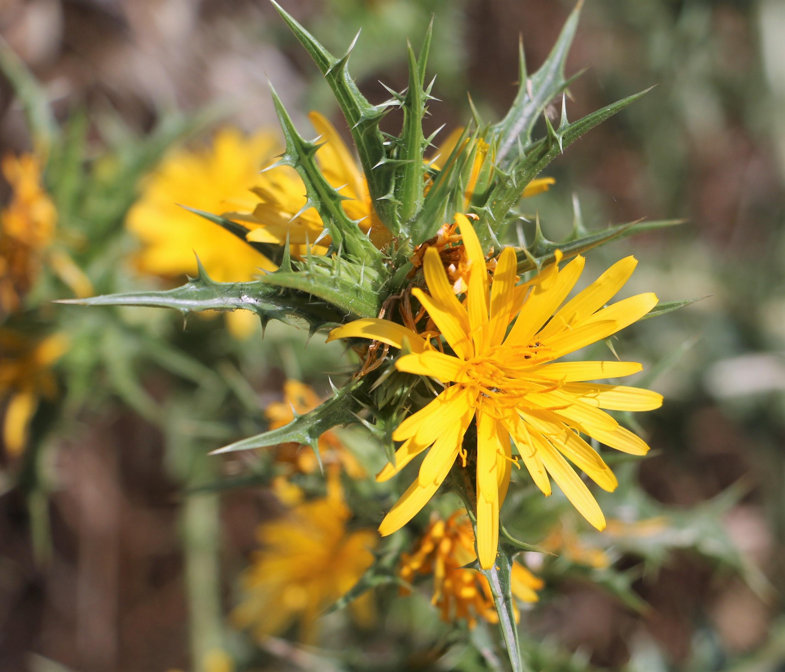 Scolymus maculatus.