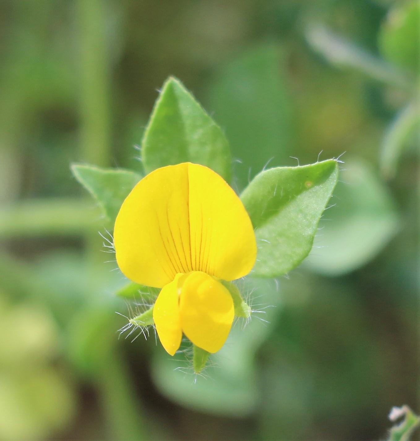 Lotus corniculatus.