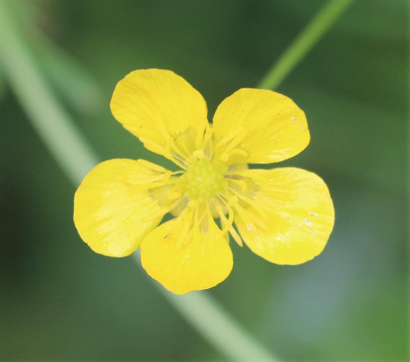 Ranunculus parviflorus.