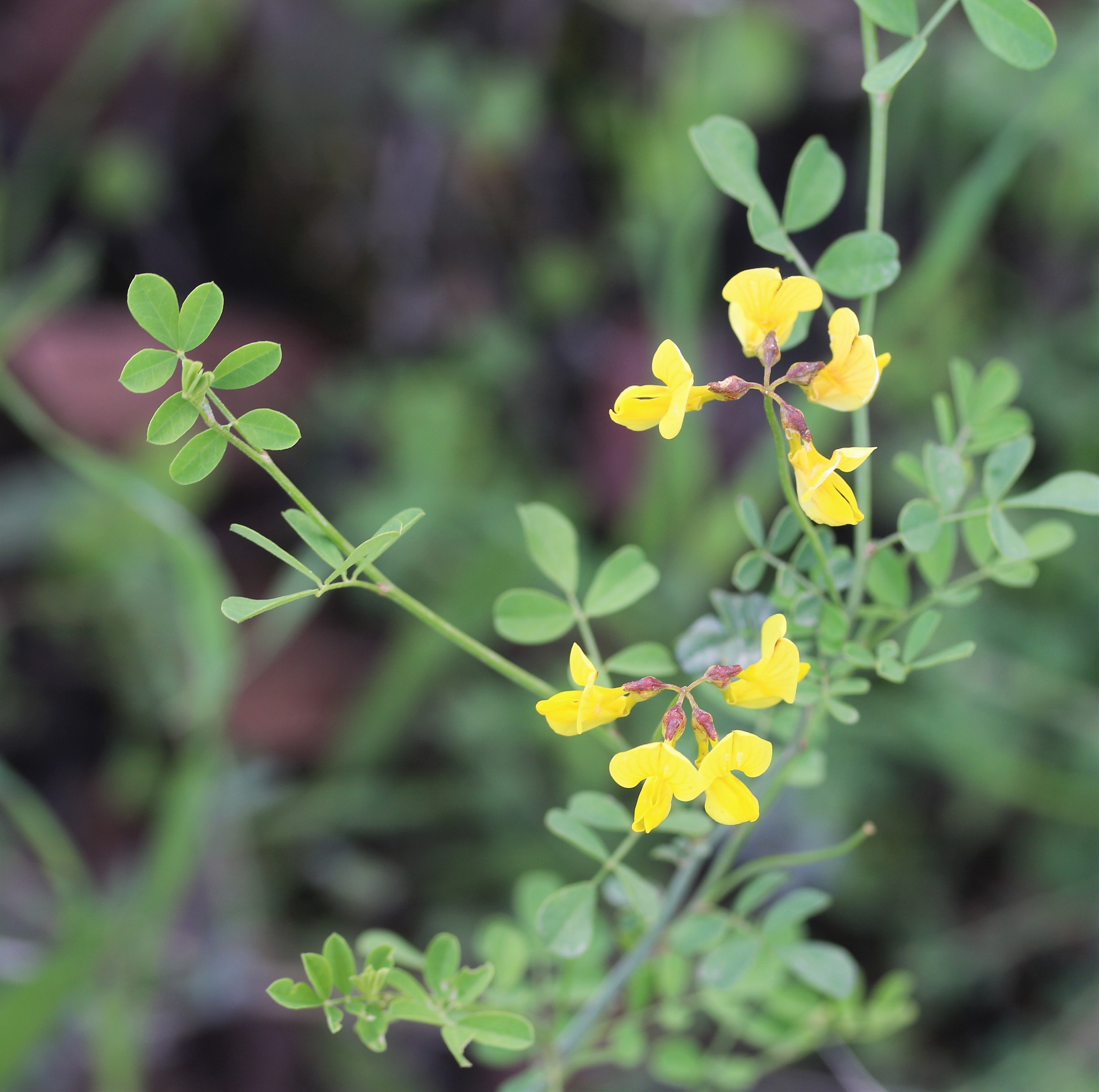 Coronilla emeroides.