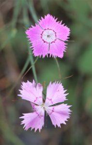 Dianthus mercurii.