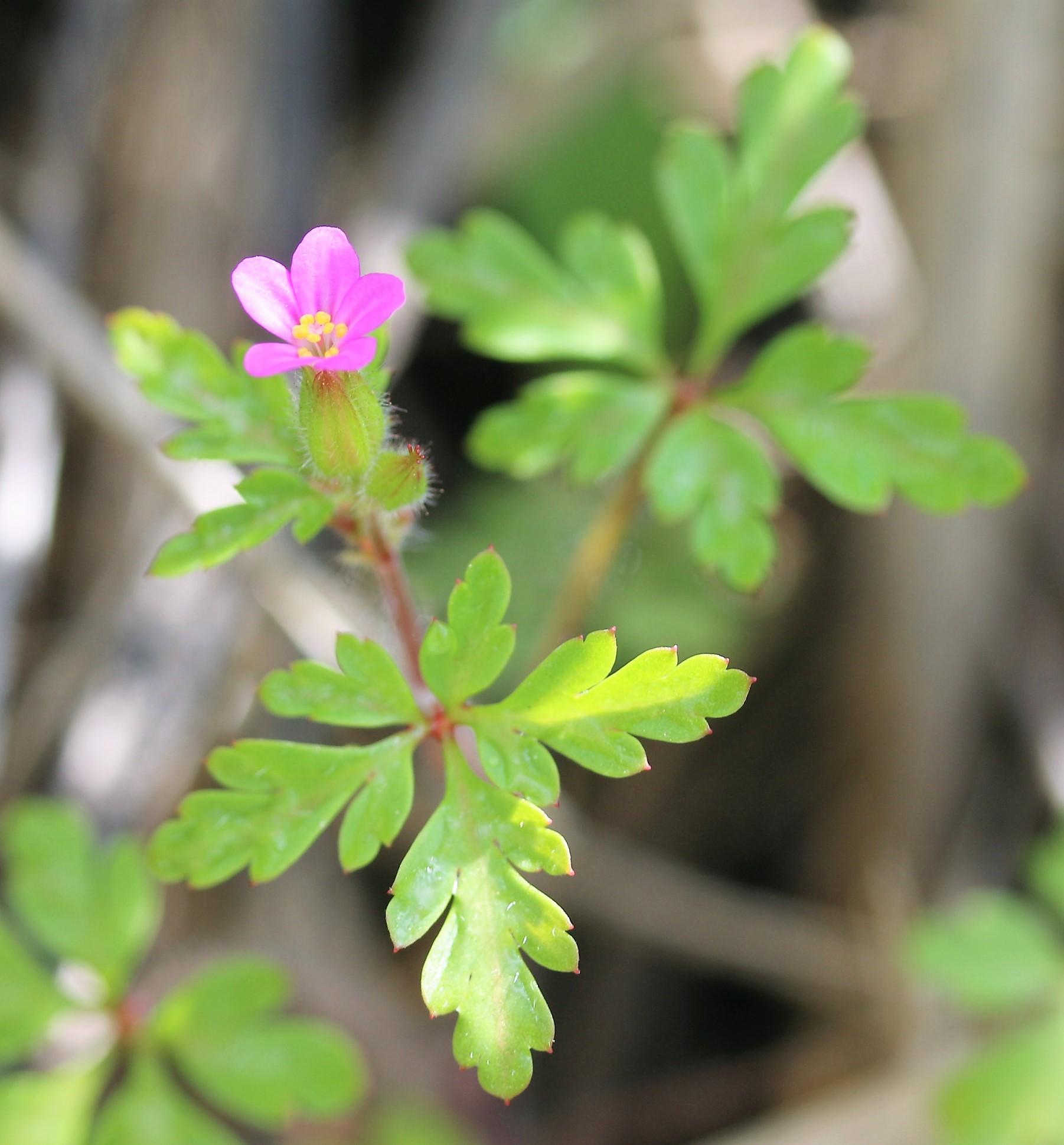 Geranium purpureum.