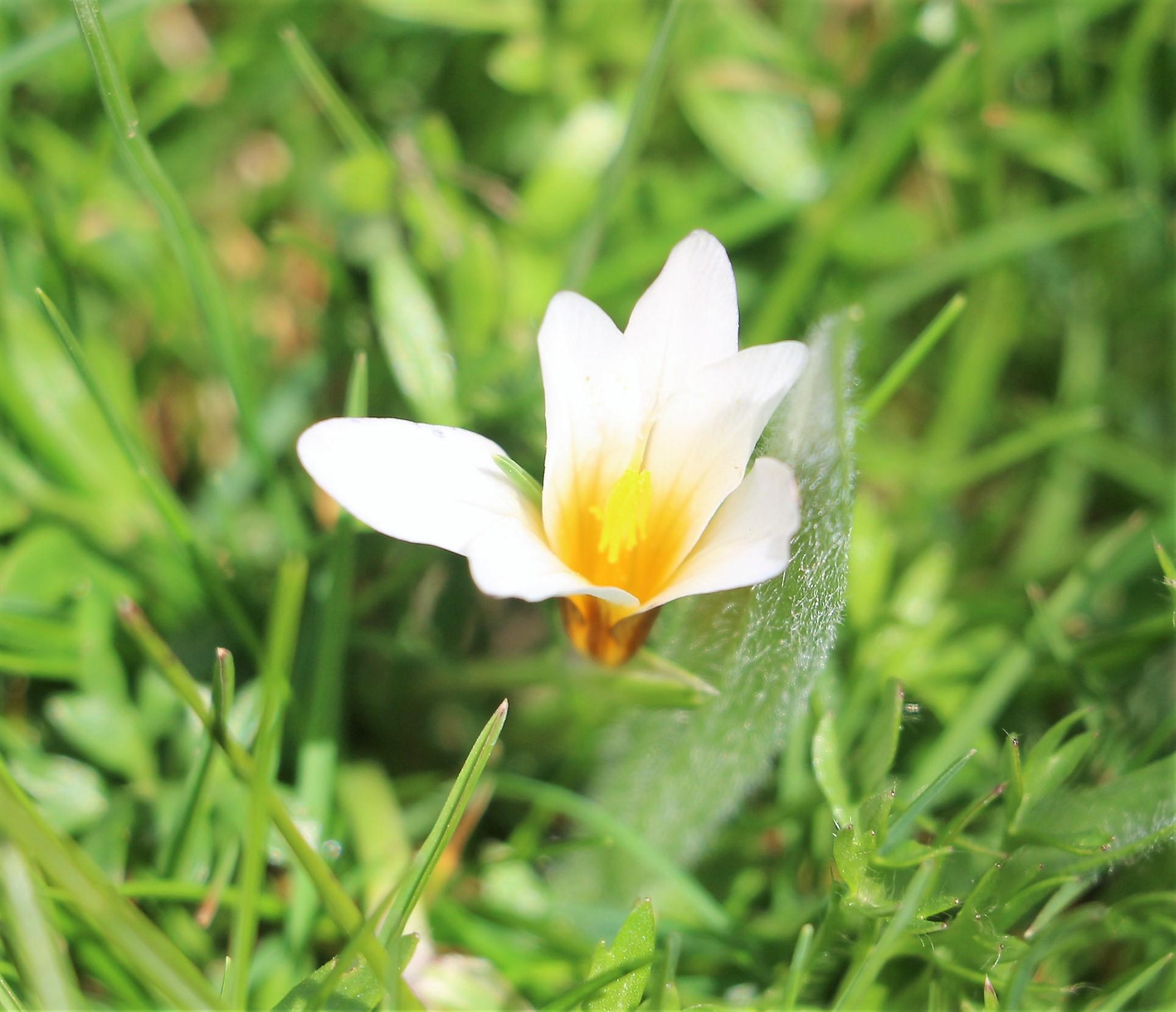 Romulea bulbocodium.