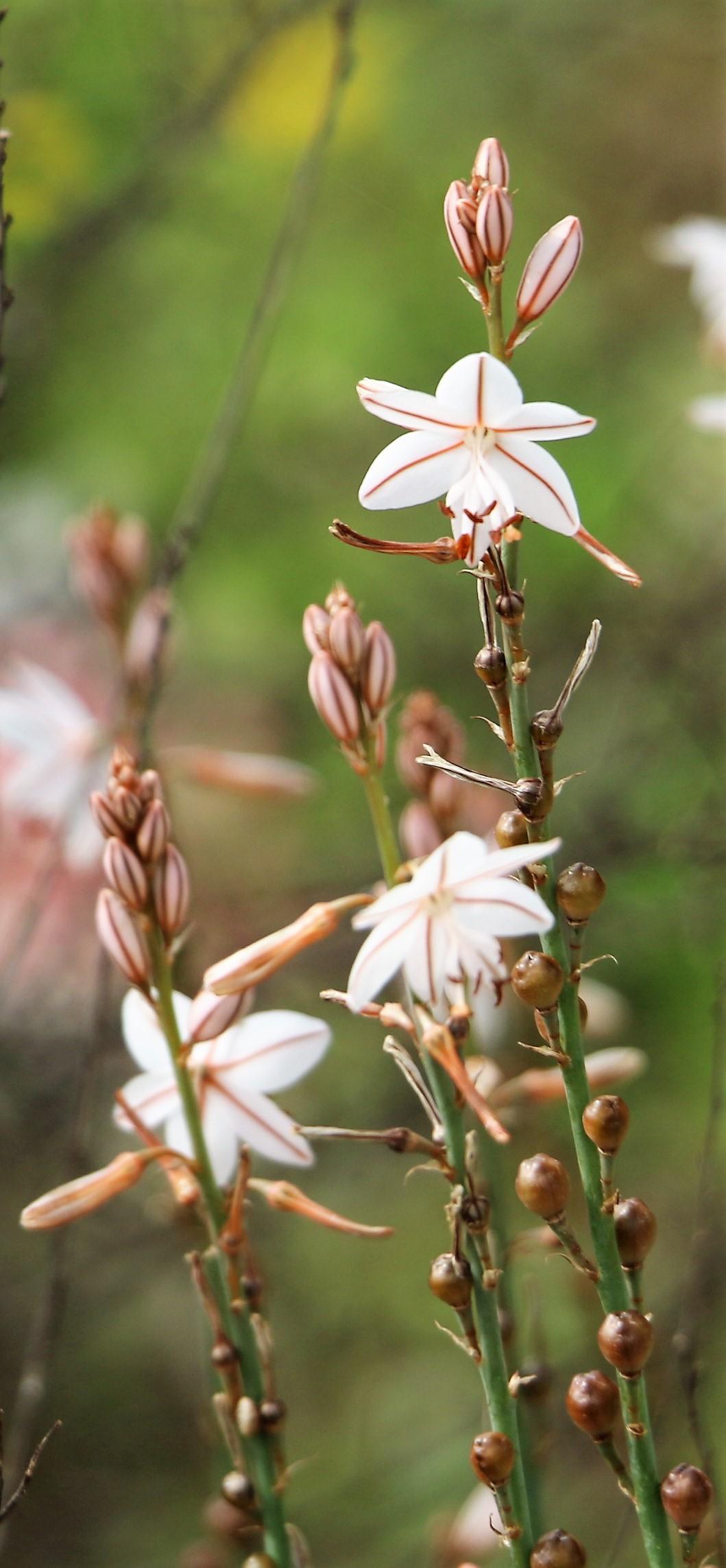 Asphodelus ramosus.