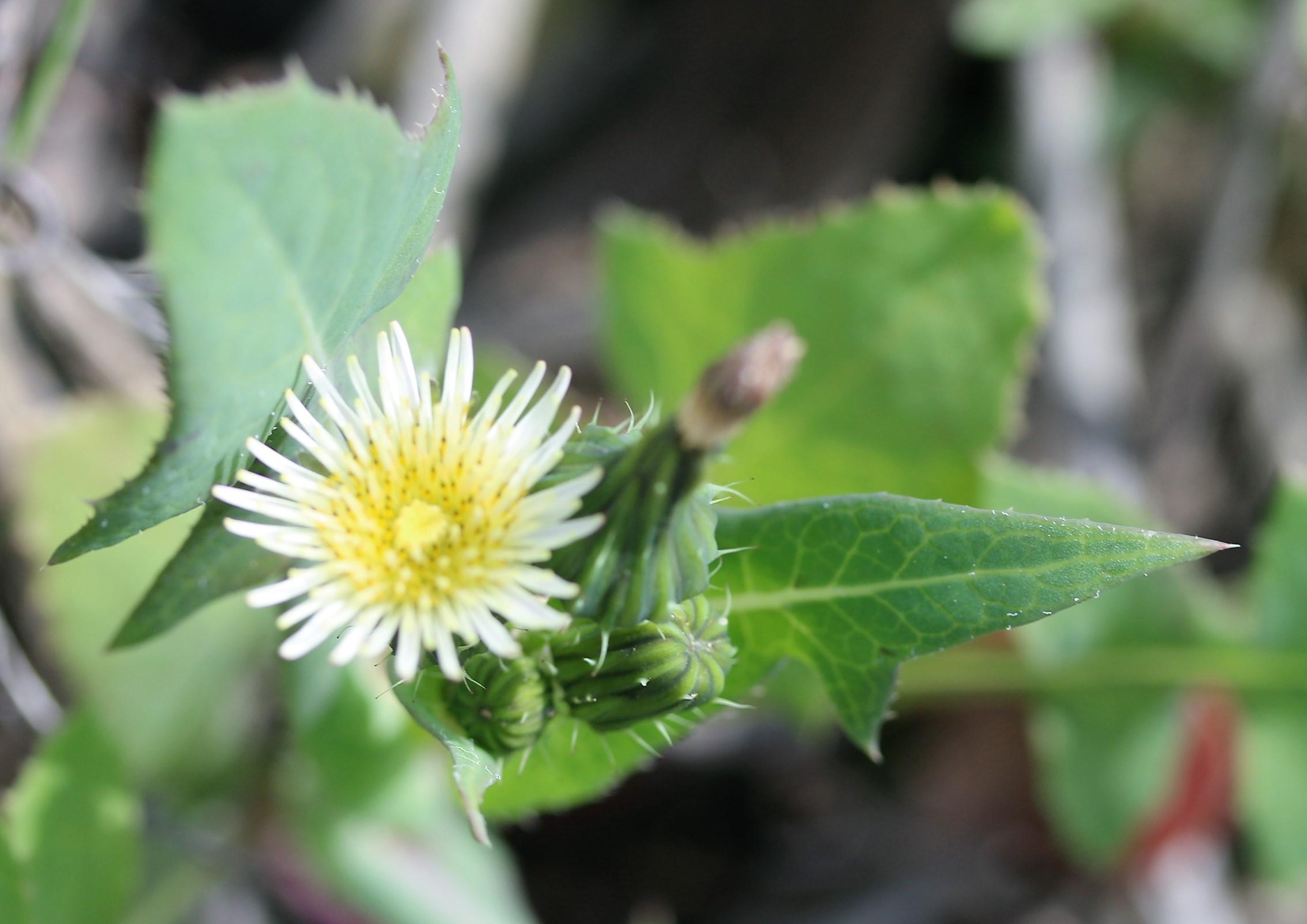 Sonchus oleraceus.