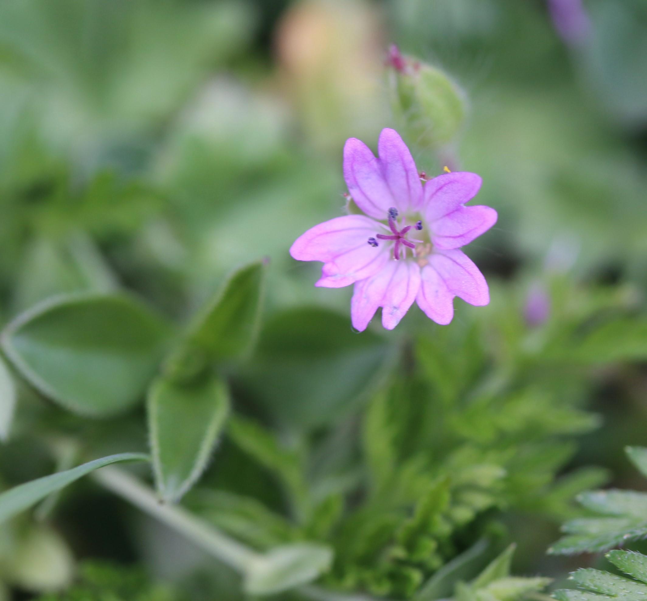 Geranium molle.