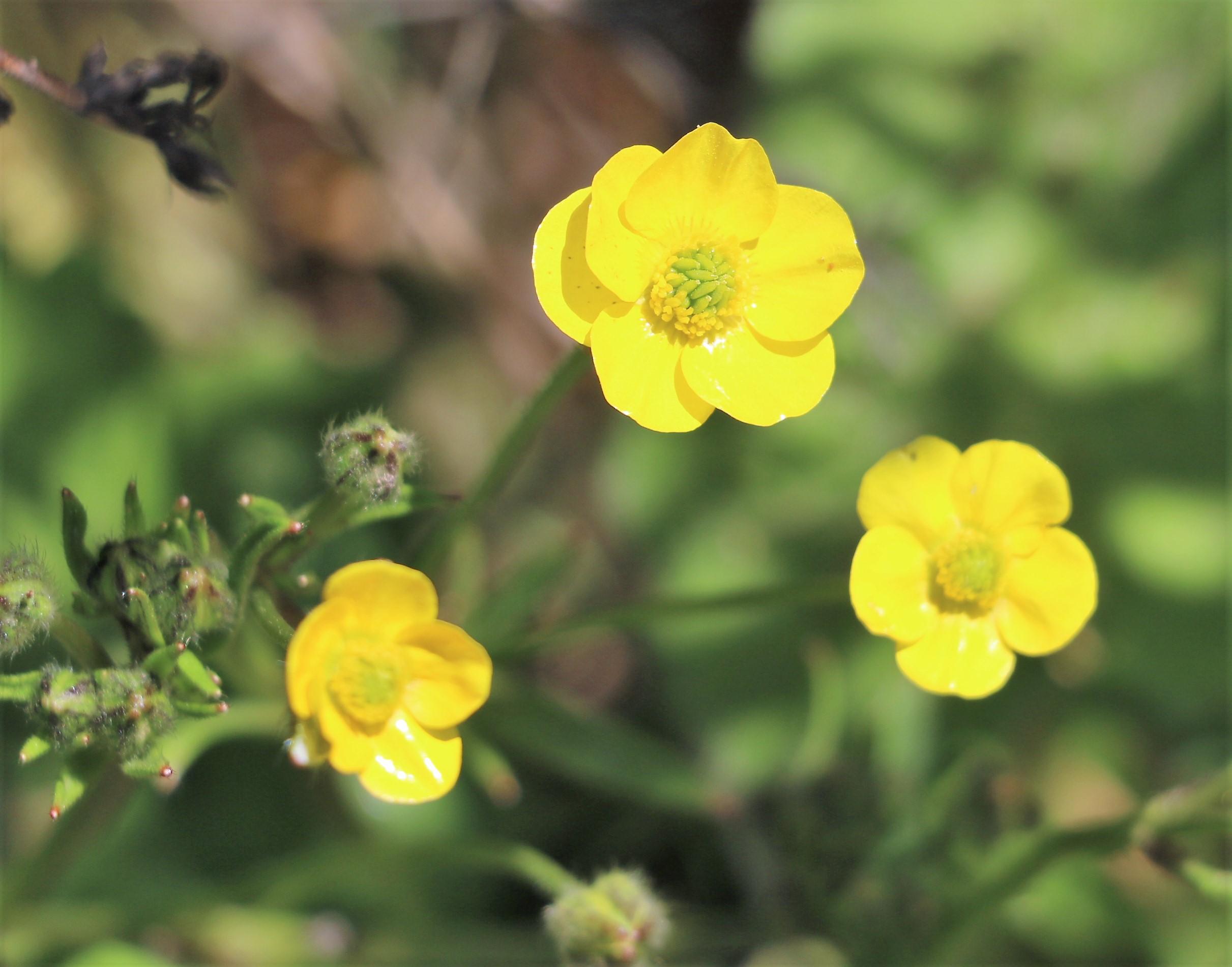 Ranunculus velutinus.
