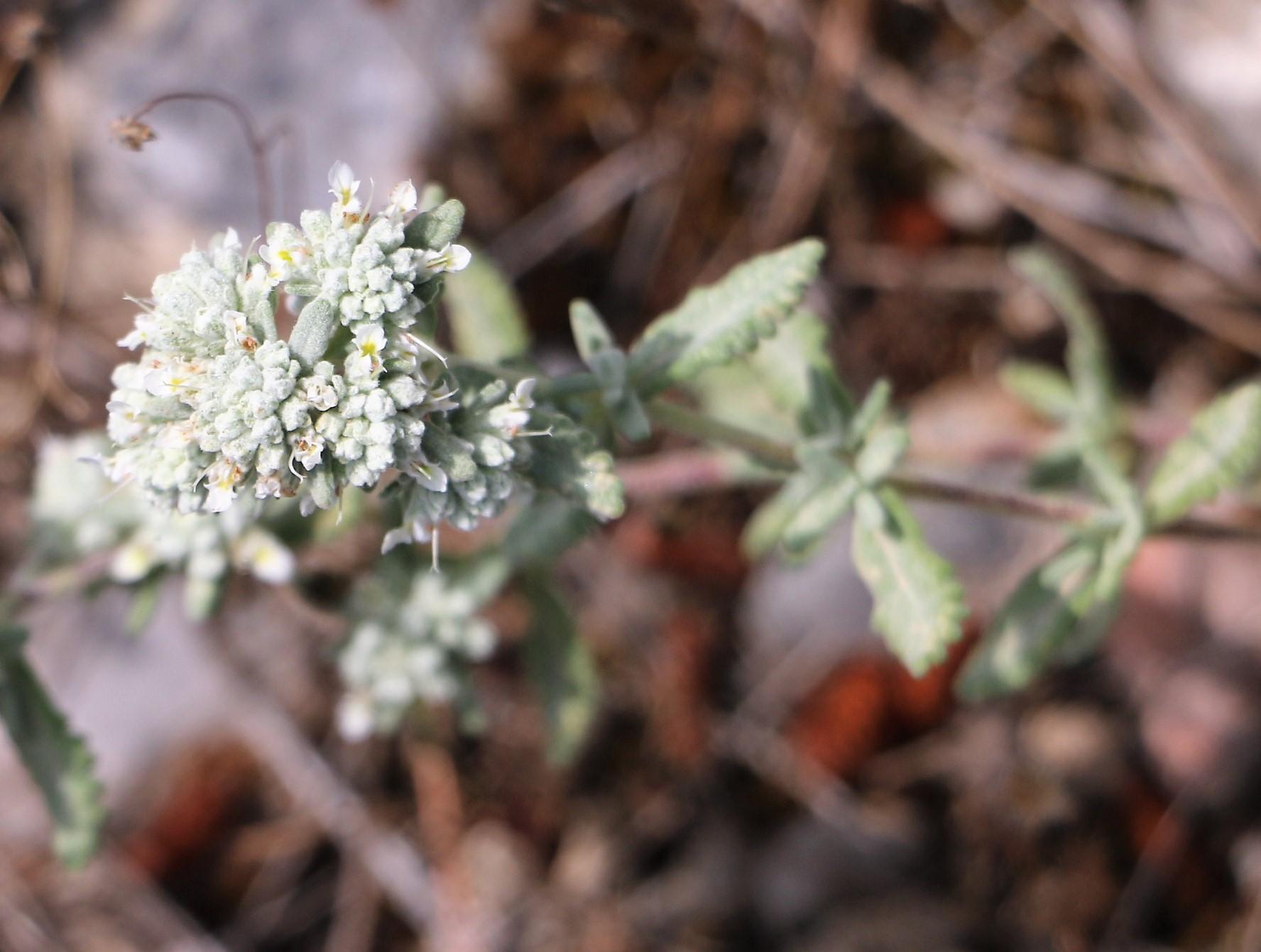 Teucrium polium ssp capitatum.