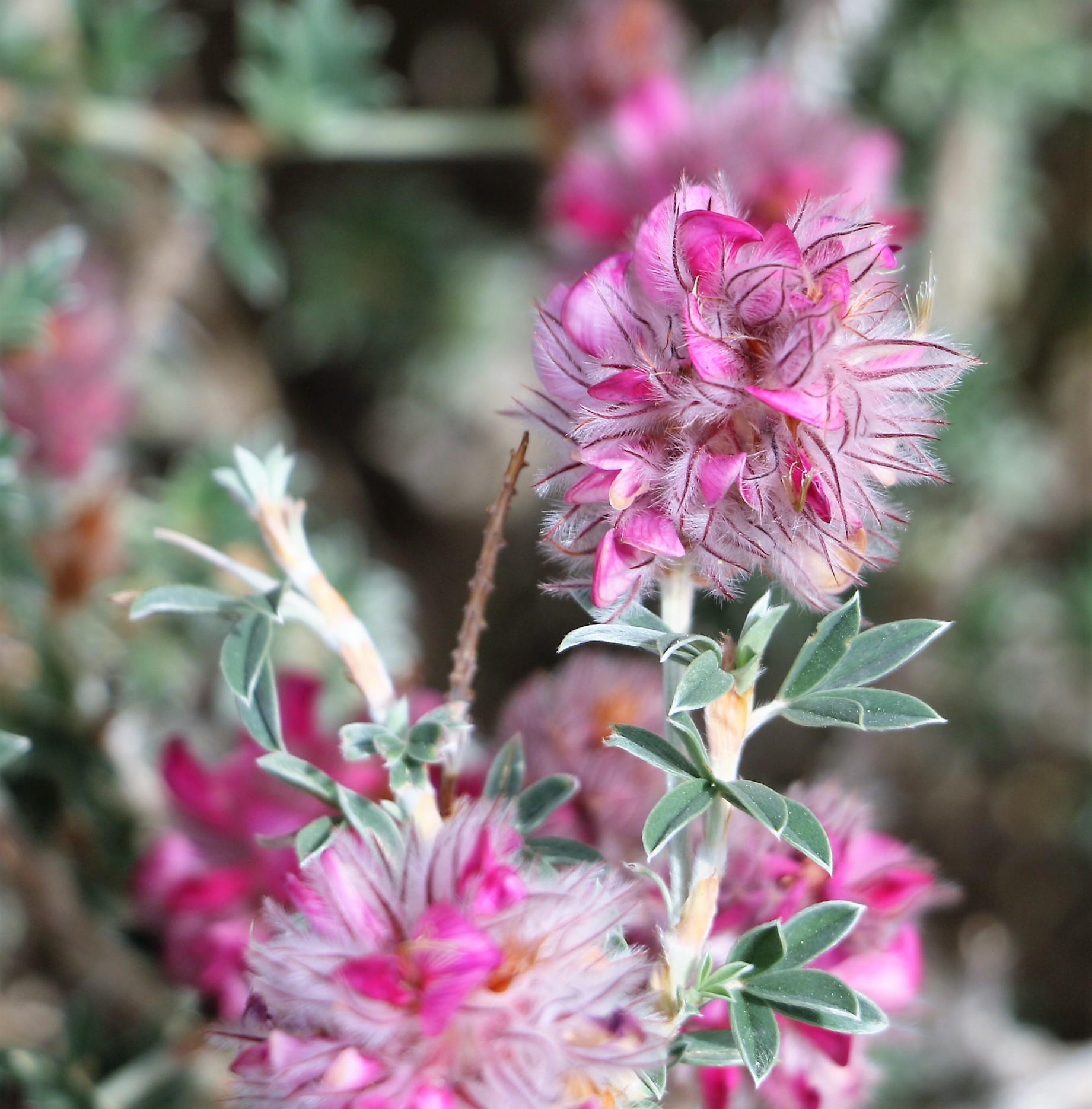Astragalus lusitanicus orientalis.