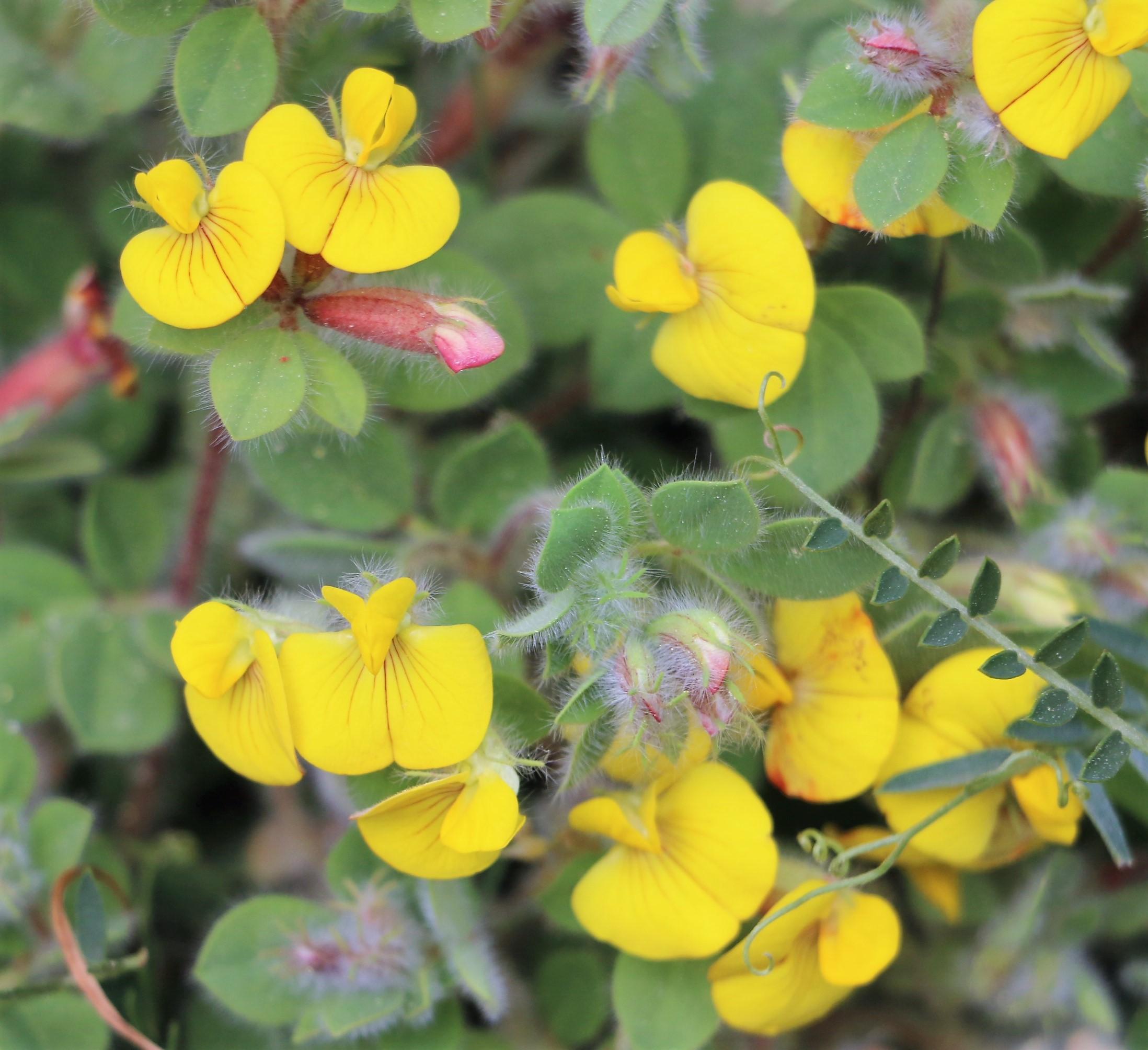 Lotus ornithopodioides.