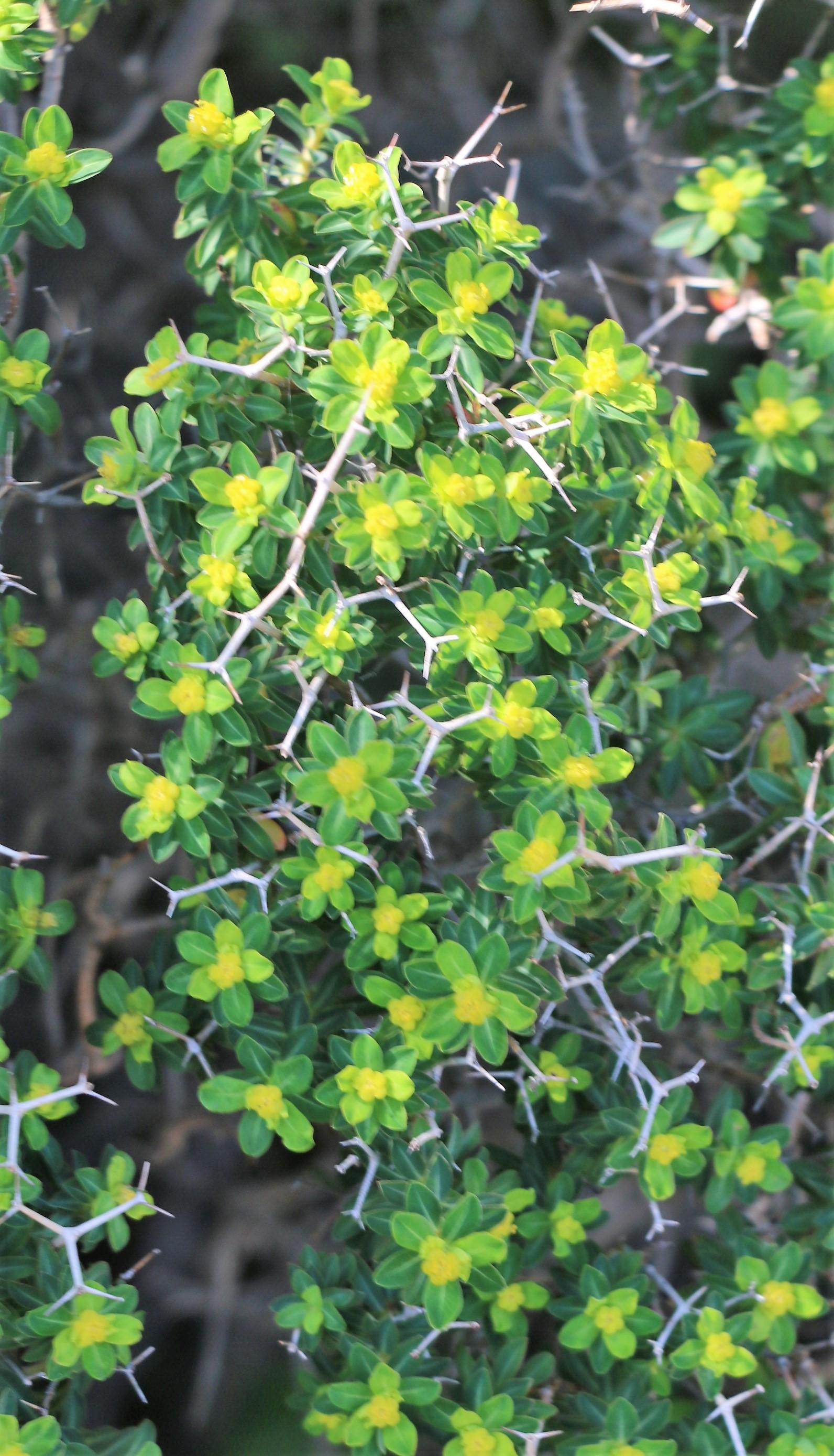 Euphorbia acanthothamnos.
