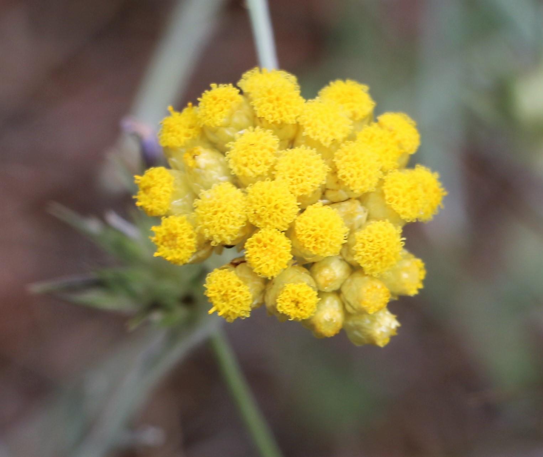 Helichrysum spinosissimum.