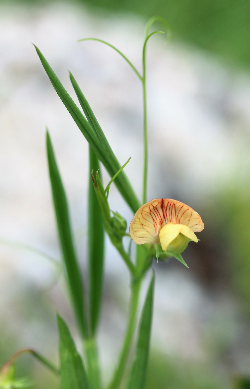 Lathyrus annuus.
