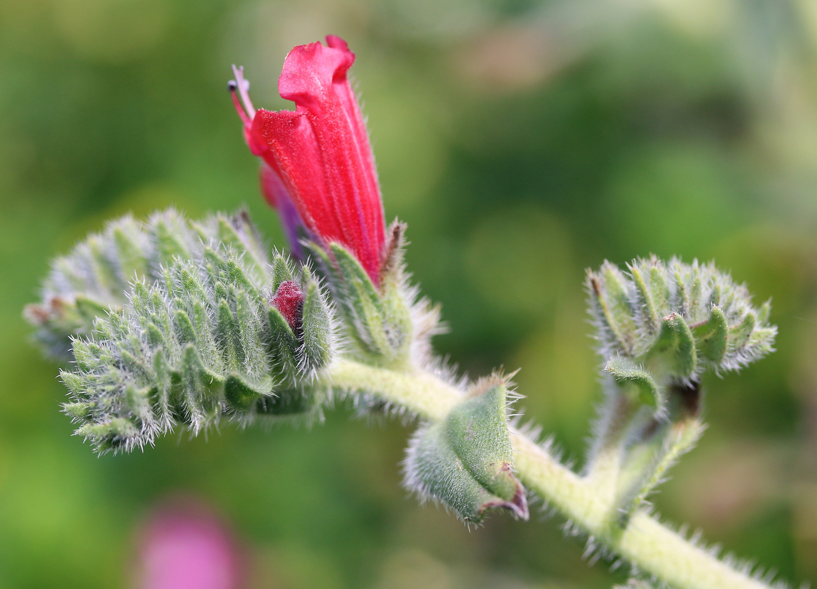 Echium augustifolium.