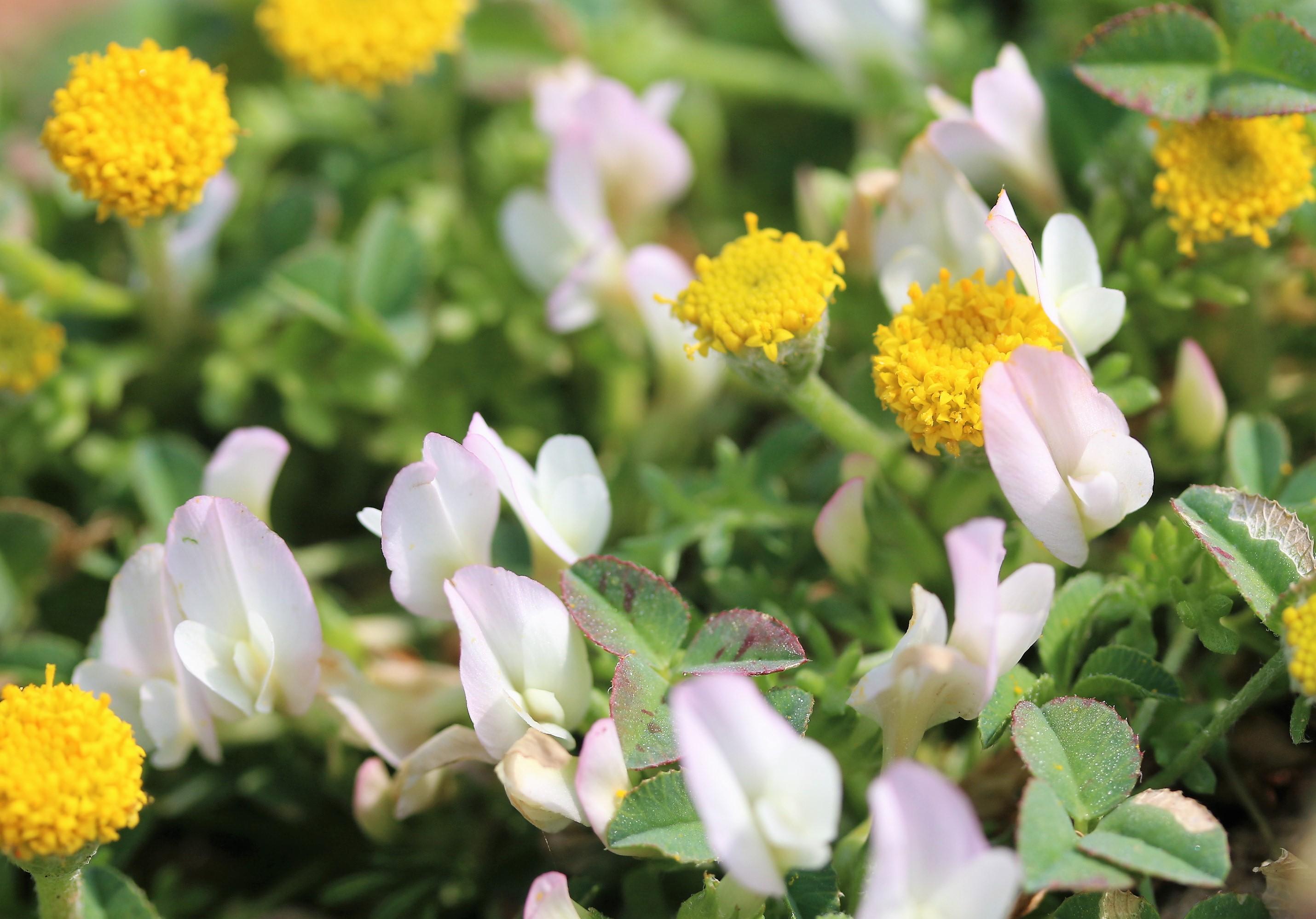 Trifolium uniflorum.