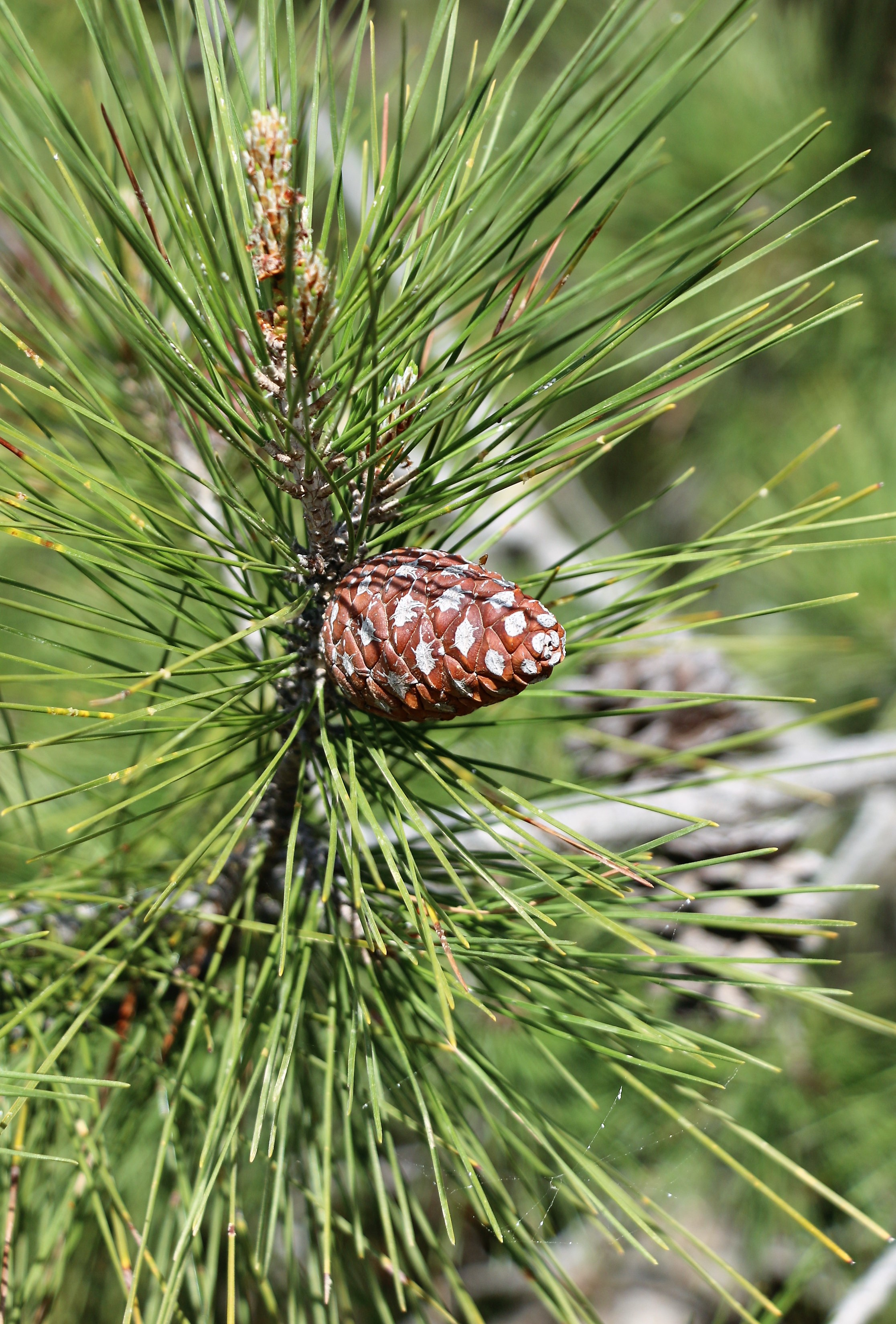Pinus brutia.