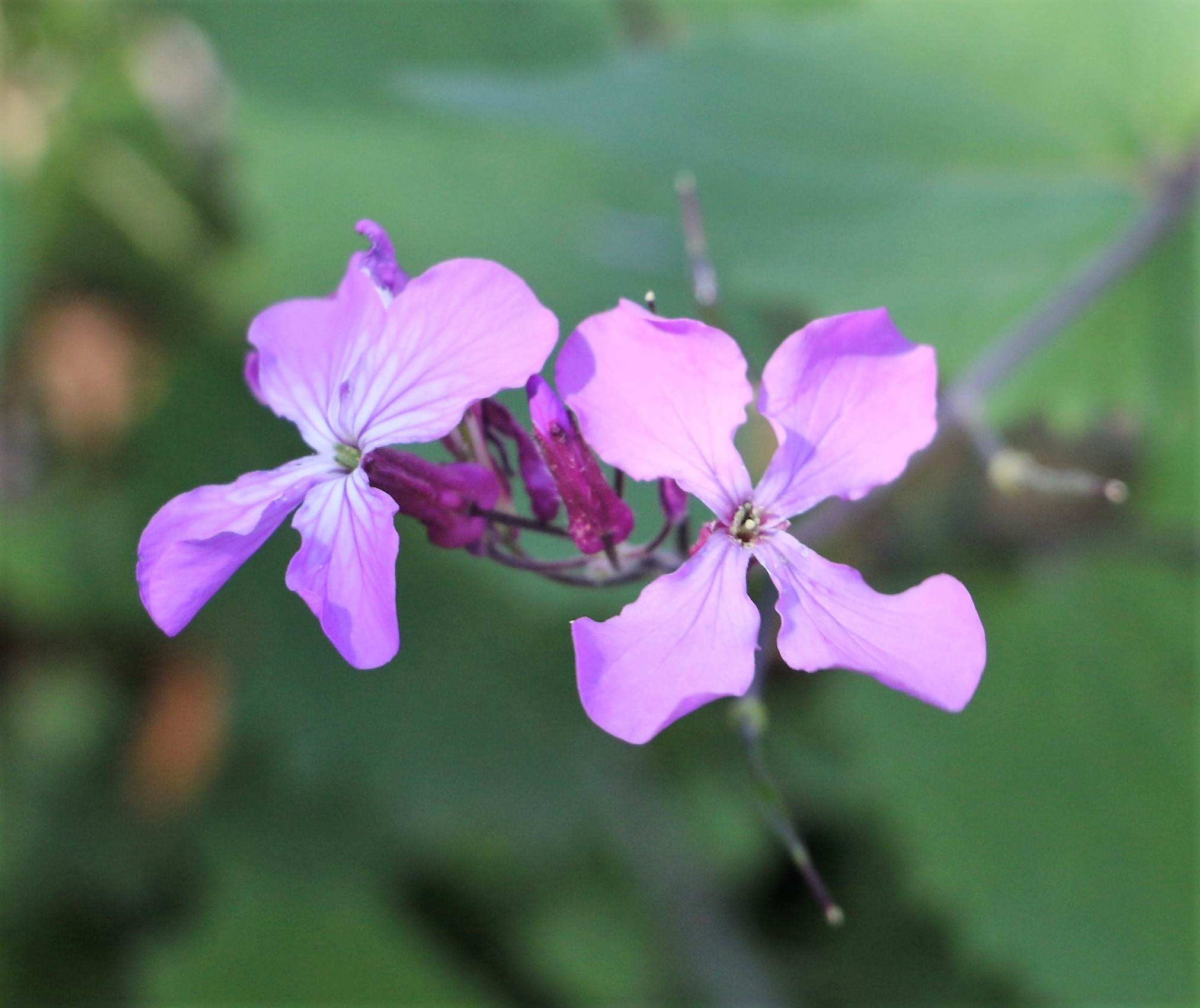 Althaea officinalis.