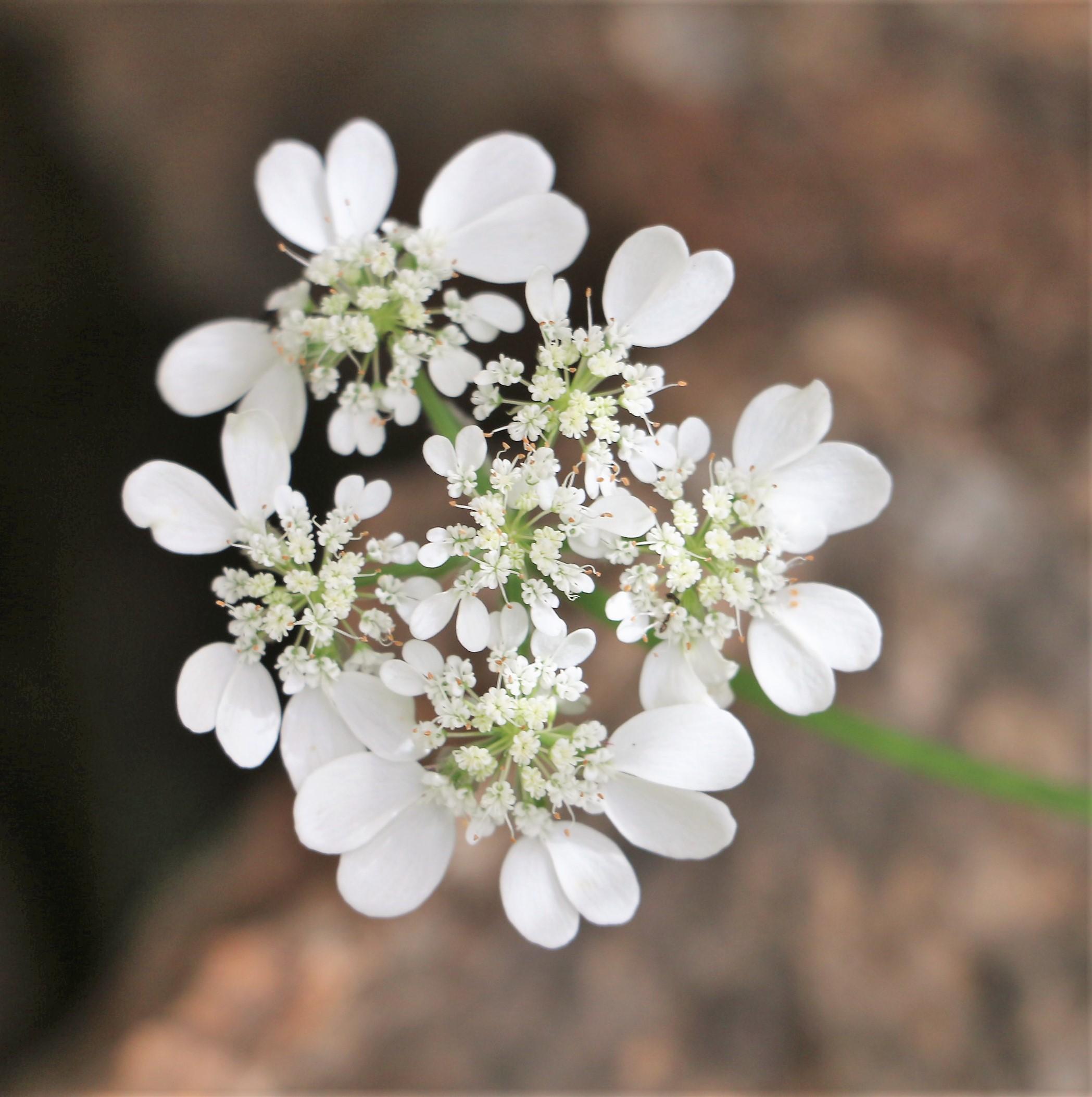 Orlaya grandiflora.