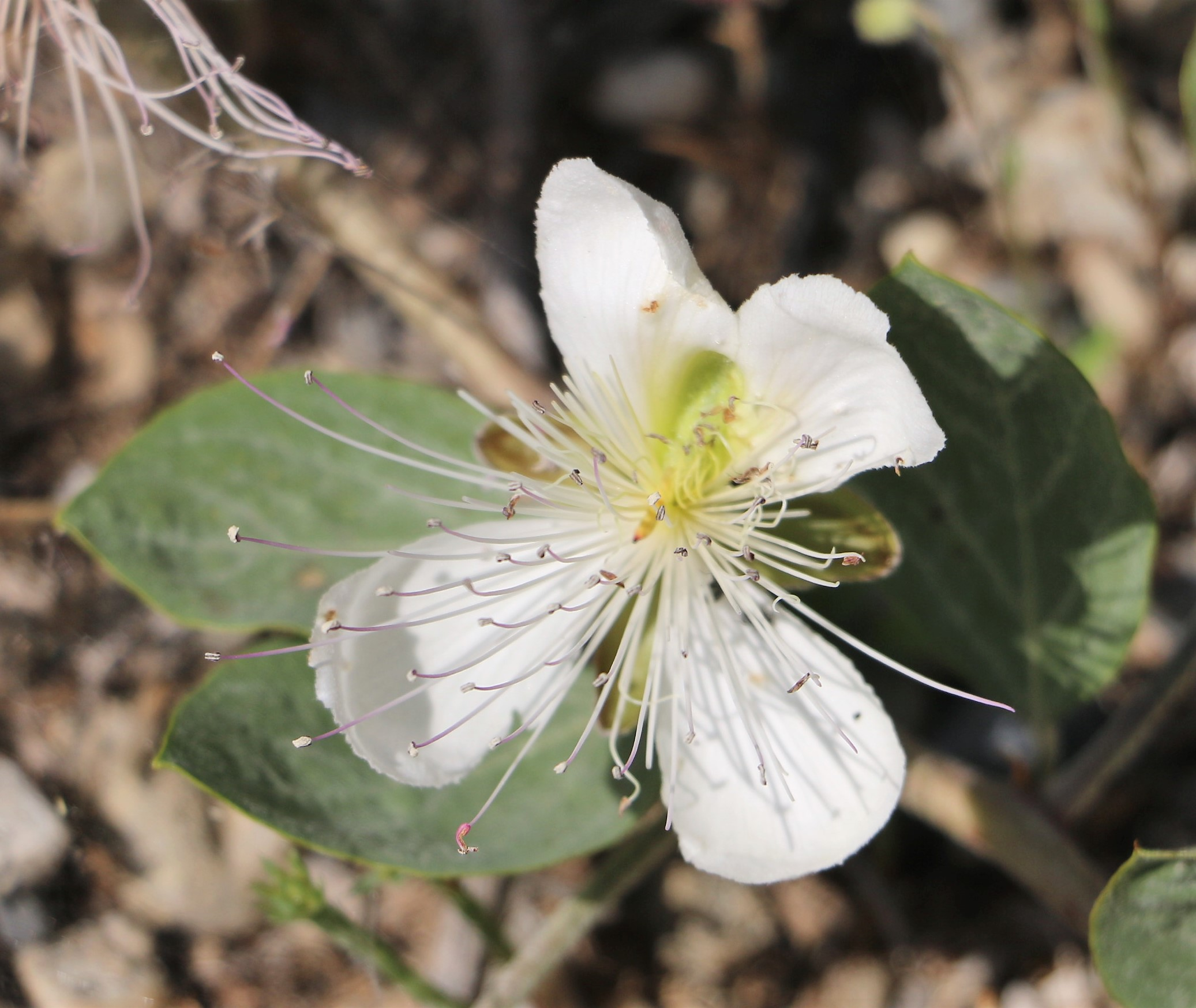 Capparis spinosa.