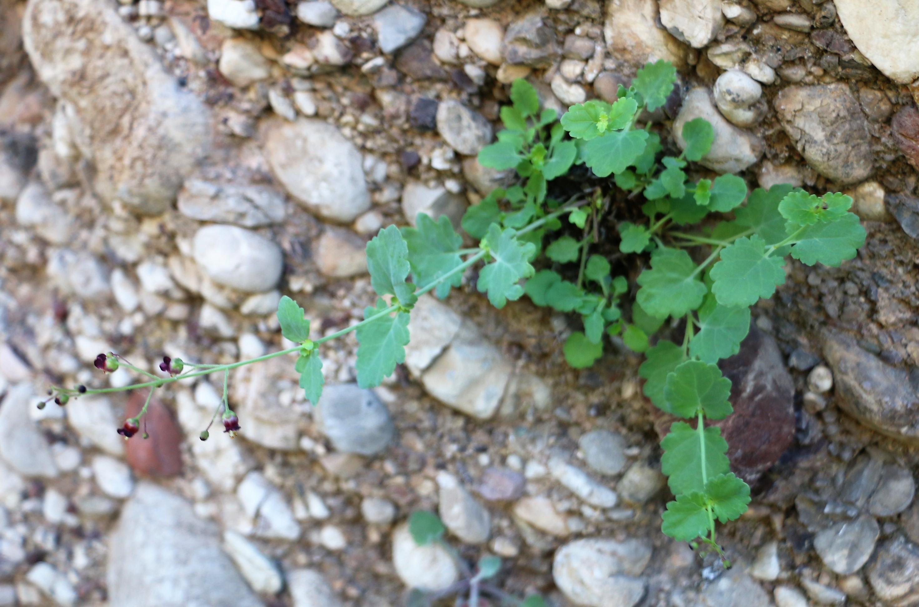 Scrophularia scopolii.