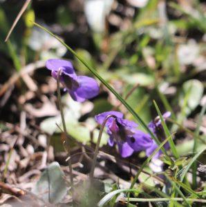 Viola cretica.