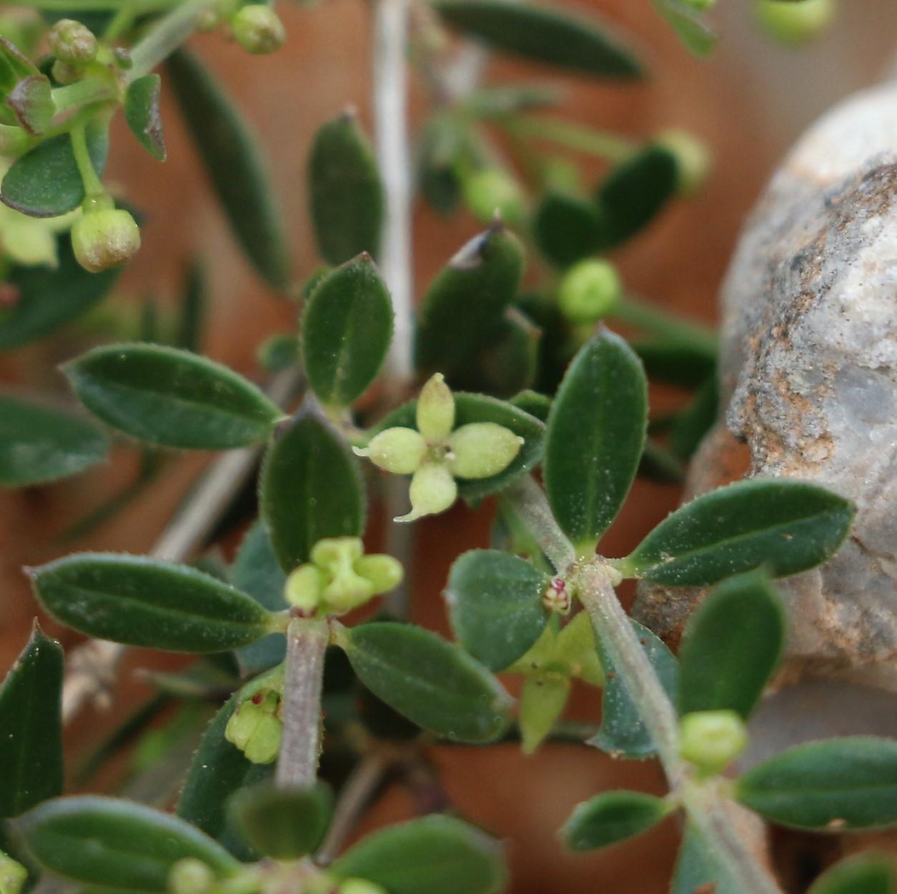 Galium verticillatum.