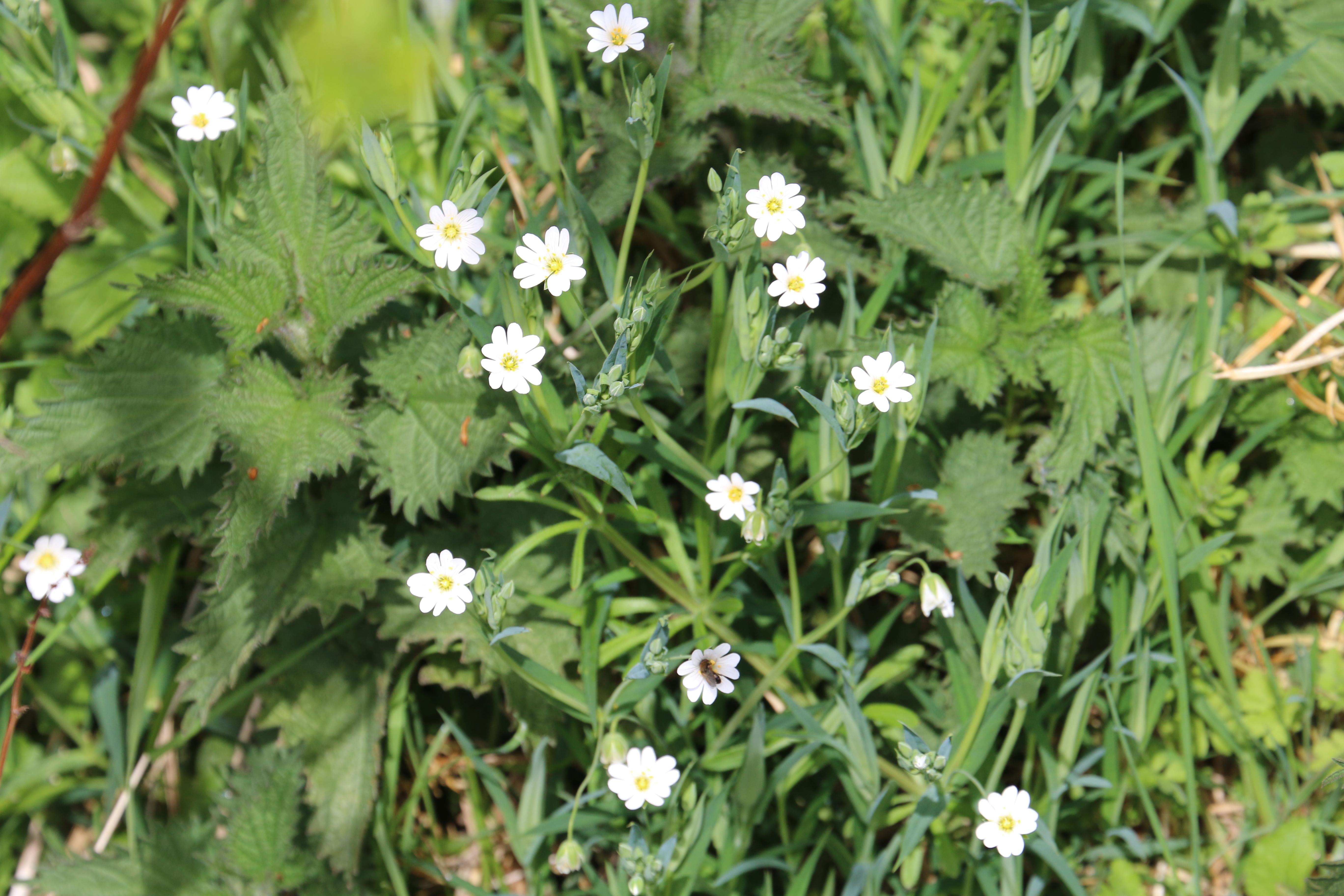 Stellaria holostea. Greater Stitchwort.