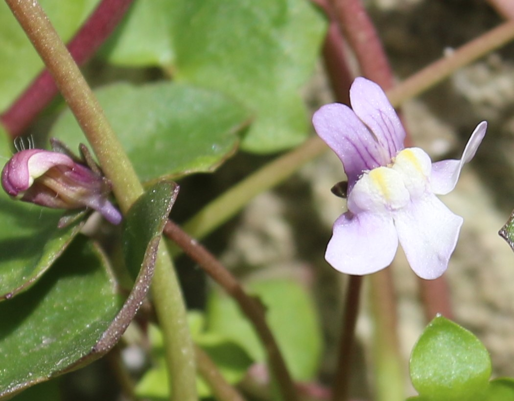 Cymbalaria muralis. Ivy-leaved Toadflax
