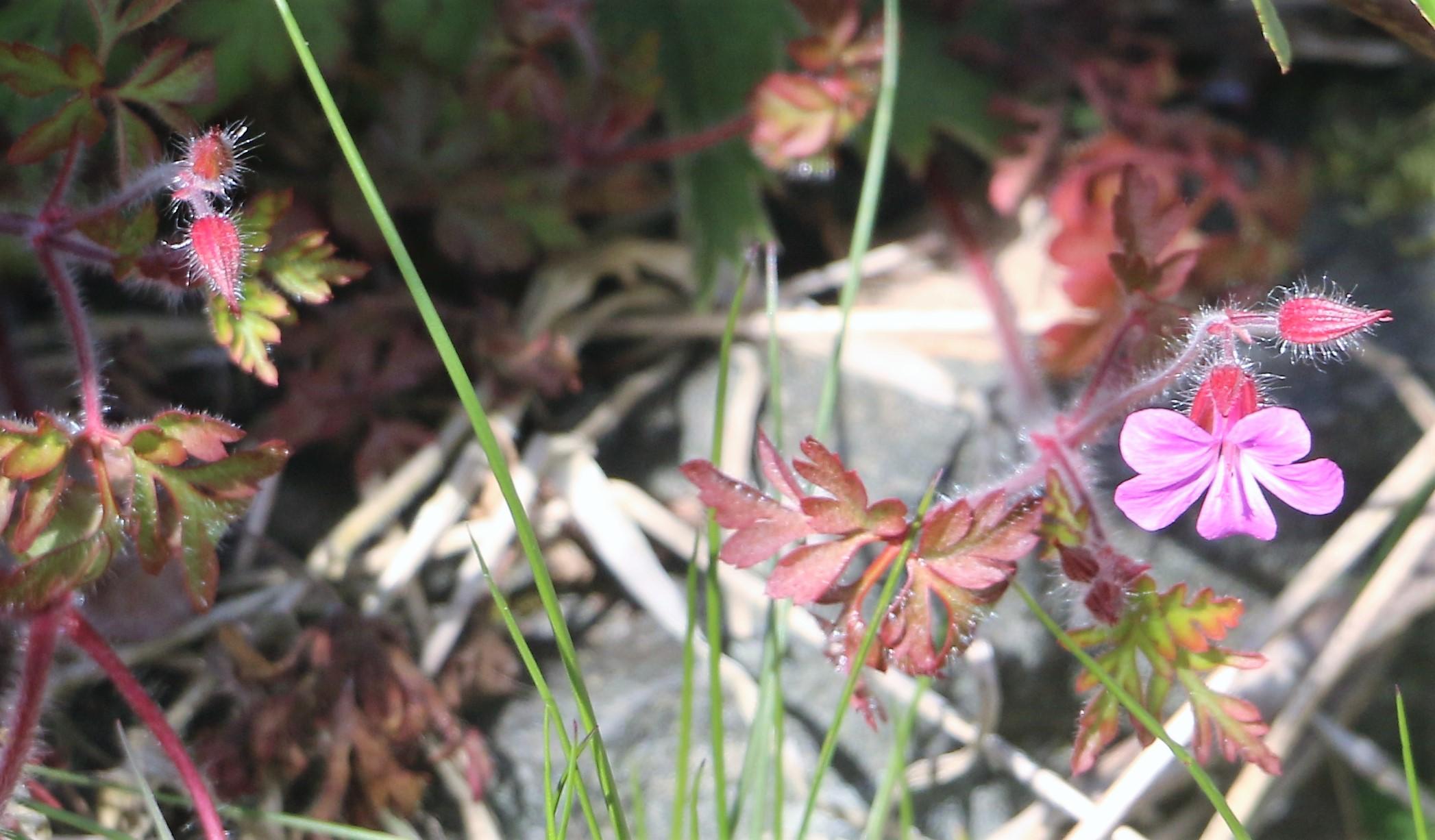 Geranium robertianum. Herb Robert