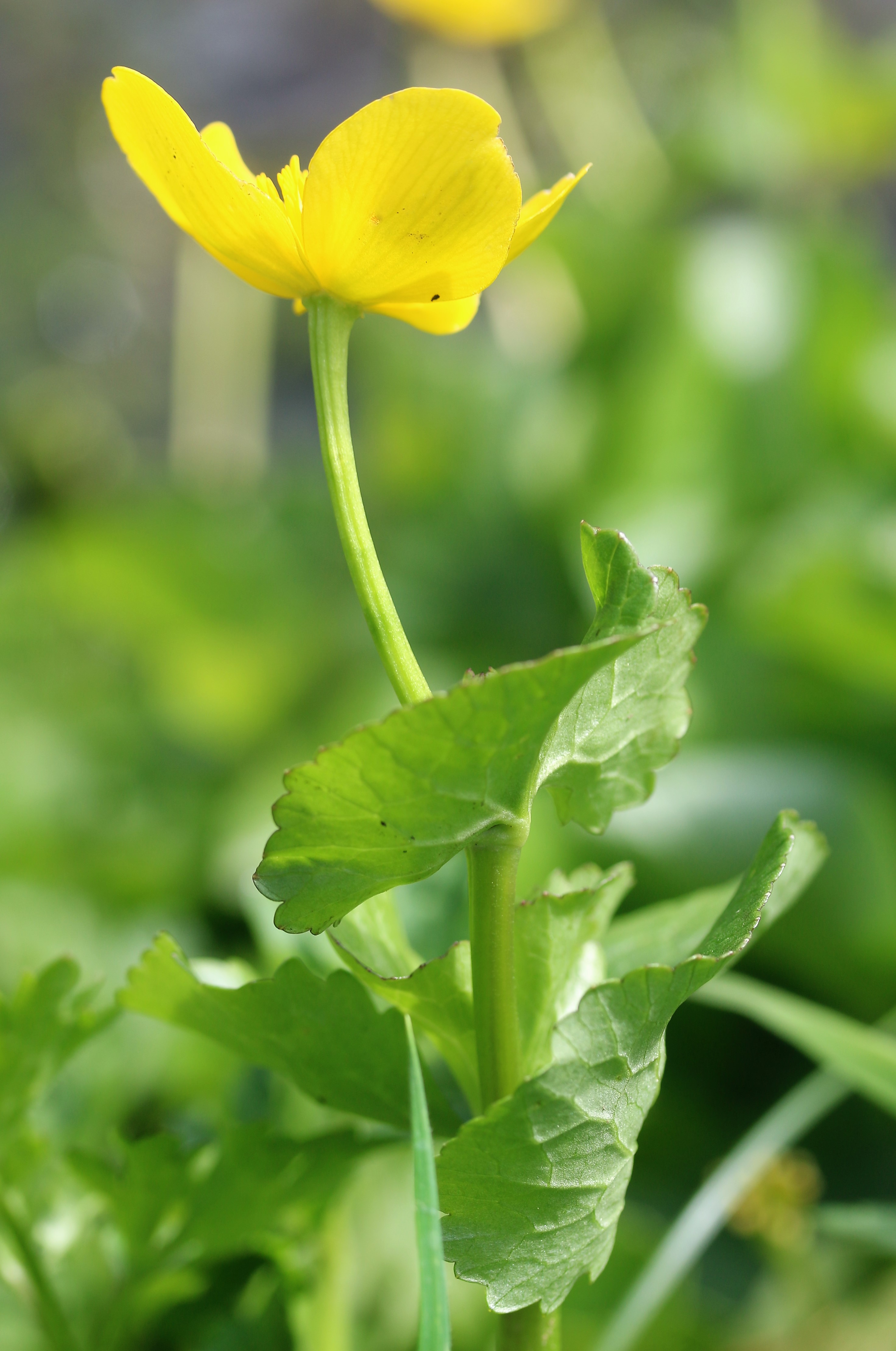 Caltha palustris. Marsh Marigold