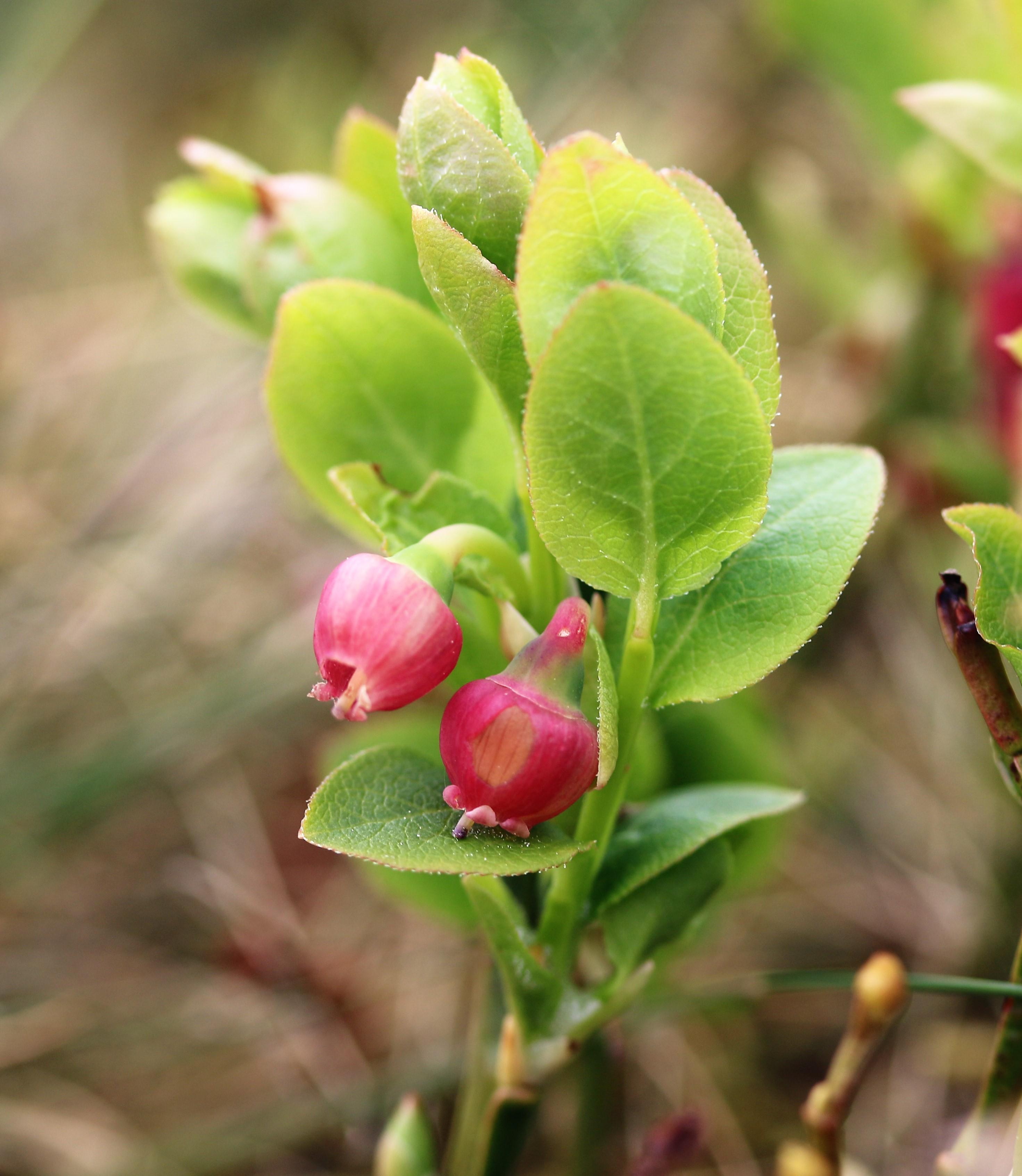 Vaccinium myrtillus. Bilberry.