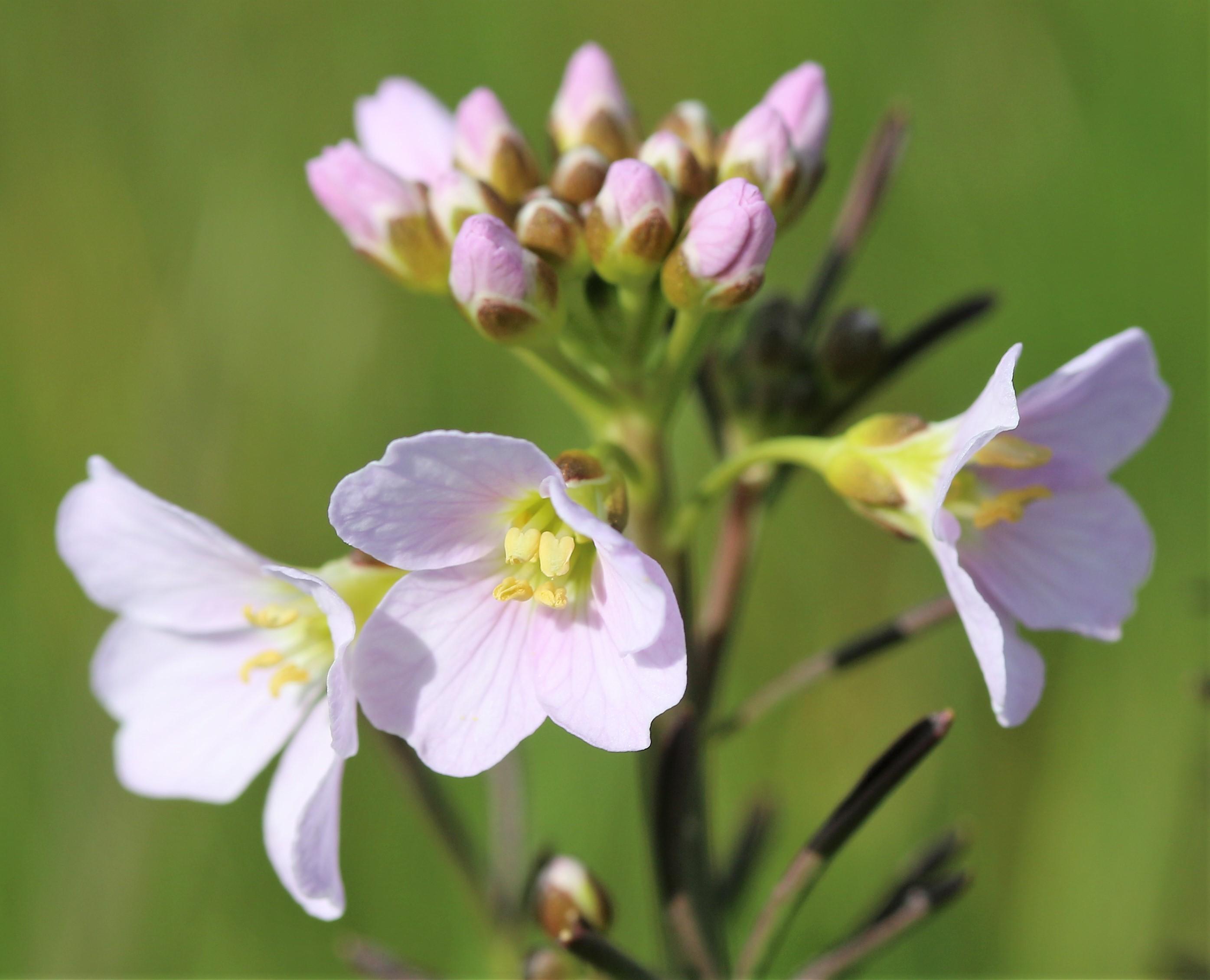 Cardamine pratensis. Cuckoo flower.