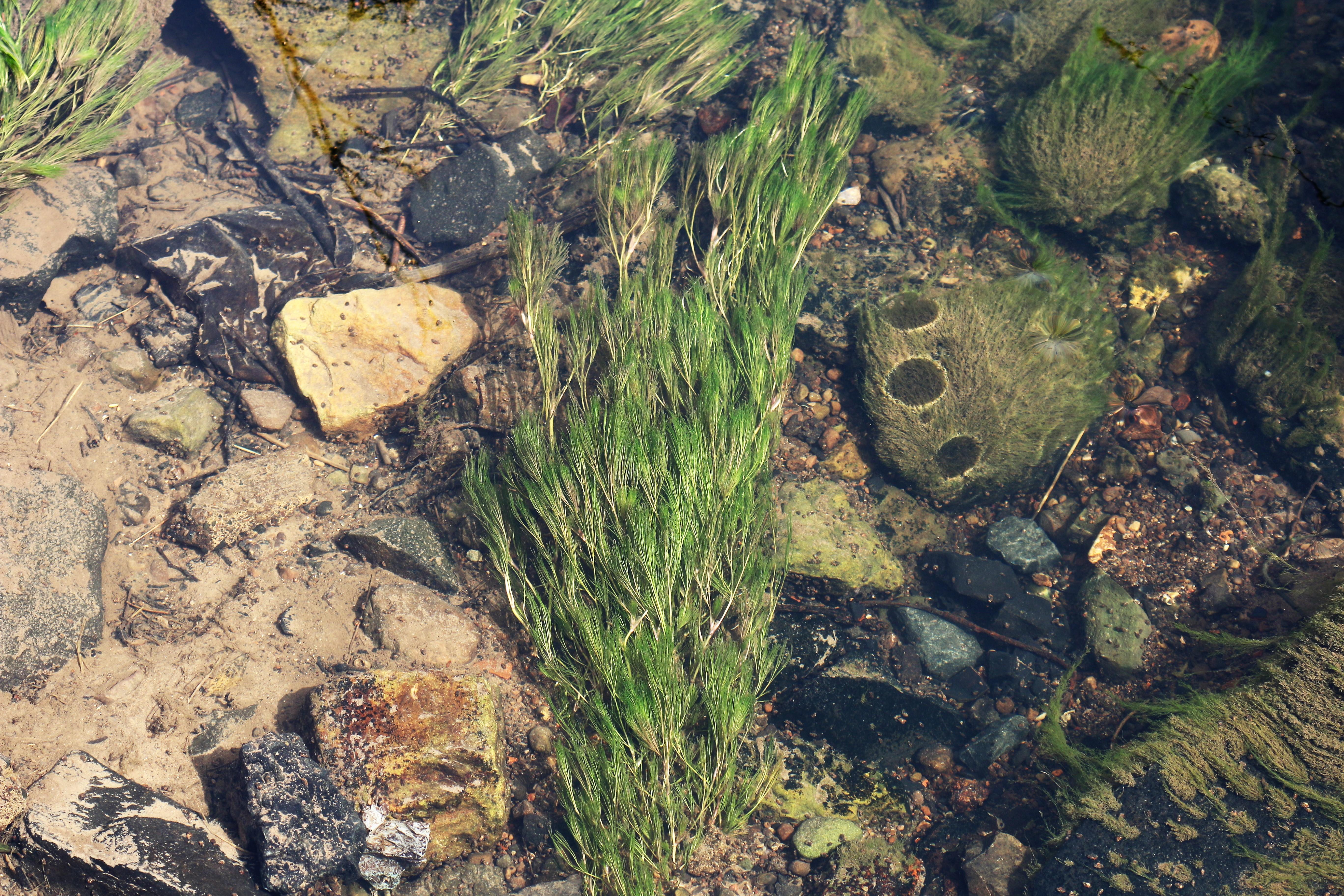 Ranunculus aquatilis. Common Water Crowfoot.