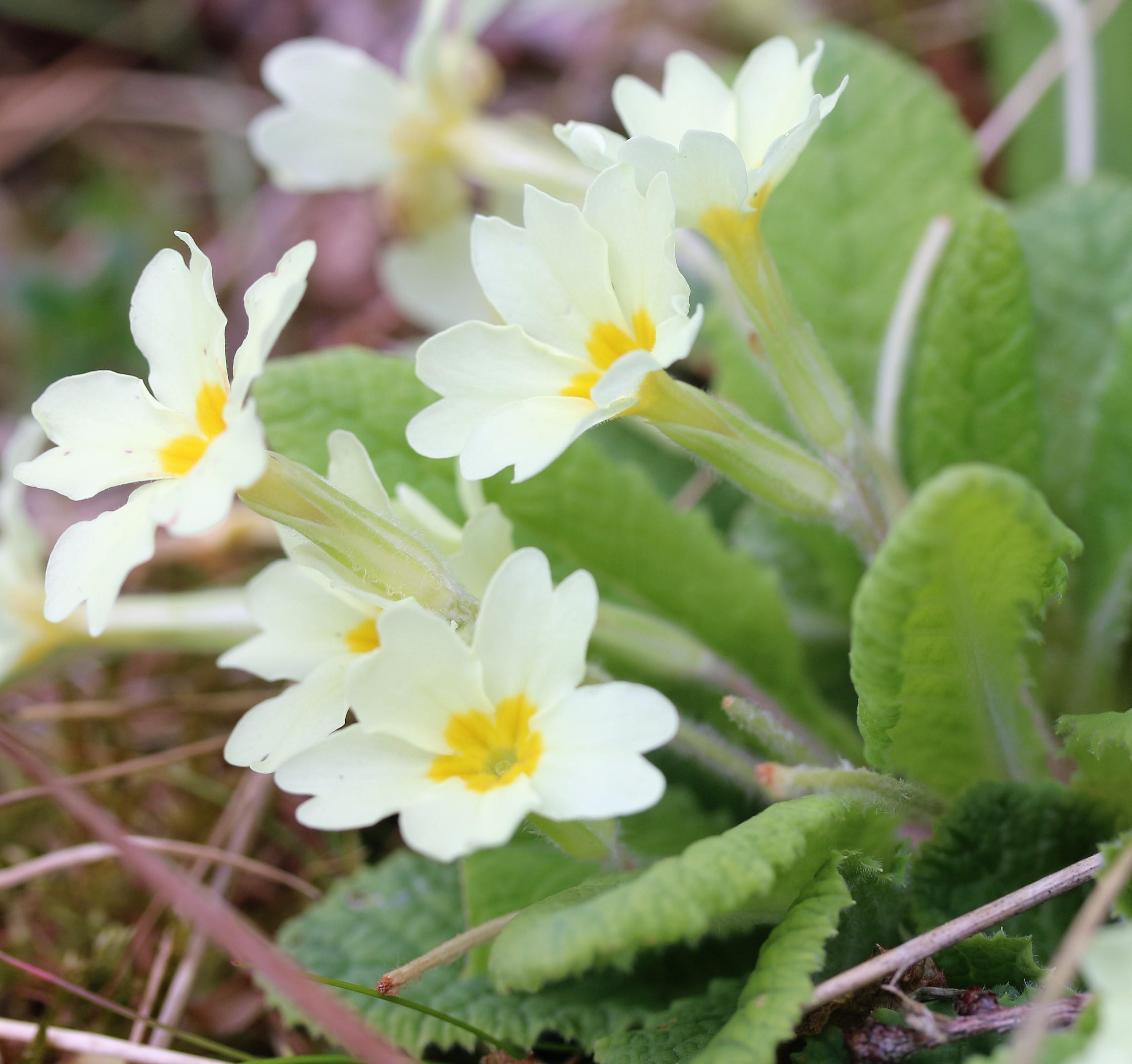 Primula vulgaris. Primrose.