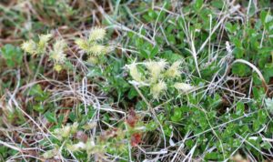 Salix repens. Creeping Willow.