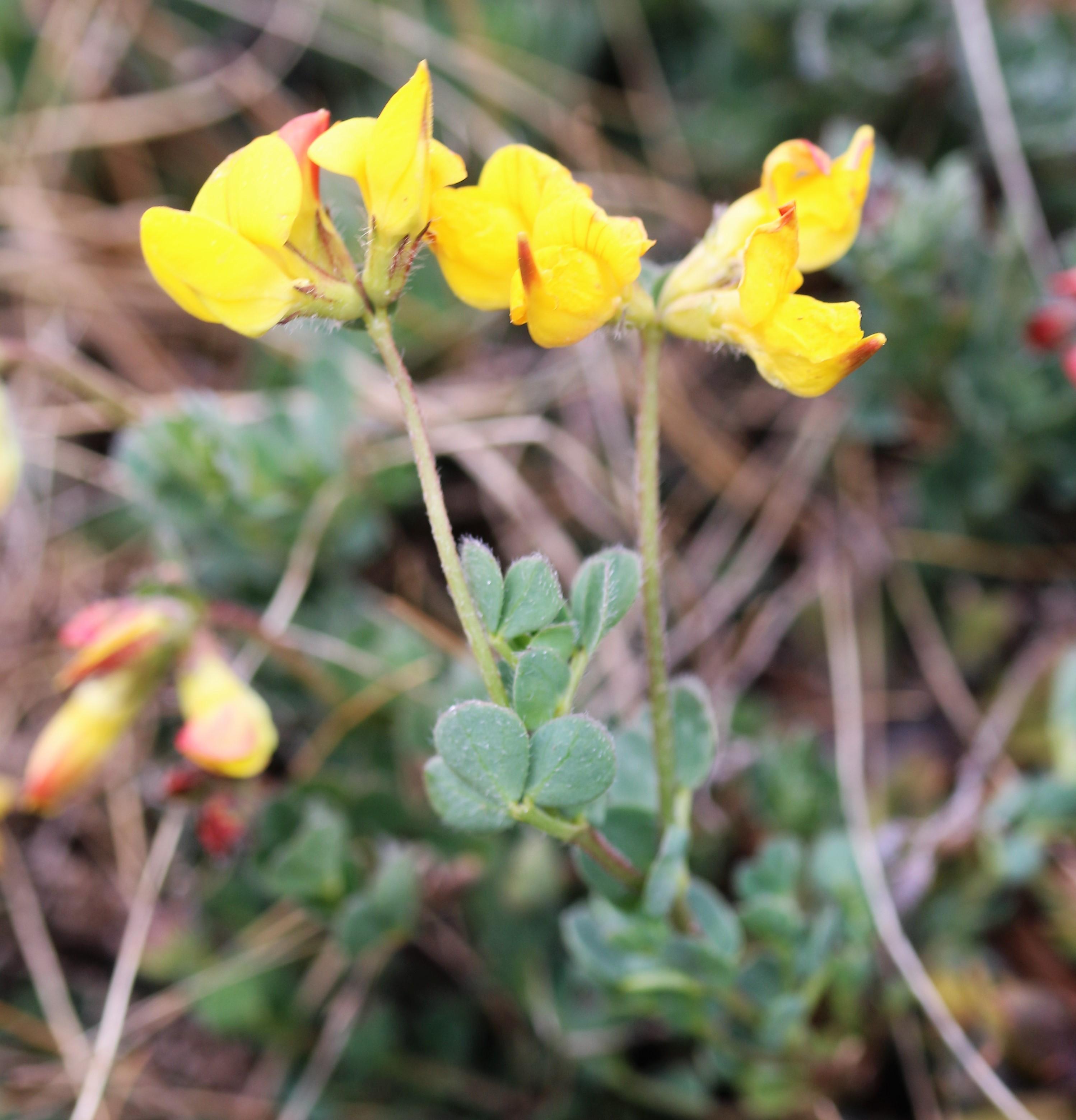 Lotus corniculatus. Birdsfoot Trefoil.