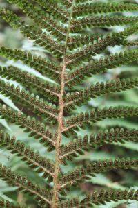 Dryopteris filix-mas. Male Fern.