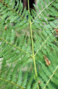 Dryopteris dilitata. Broad Buckler Fern.