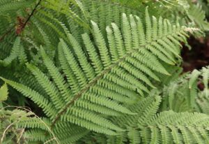 Dryopteris affinis. Scaly Male Fern.