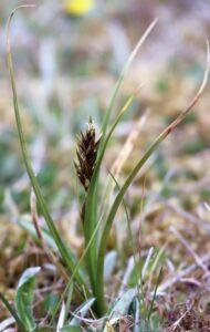 Carex ovalis. Oval sedge.