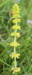 Cruciata laevipes. Crosswort.